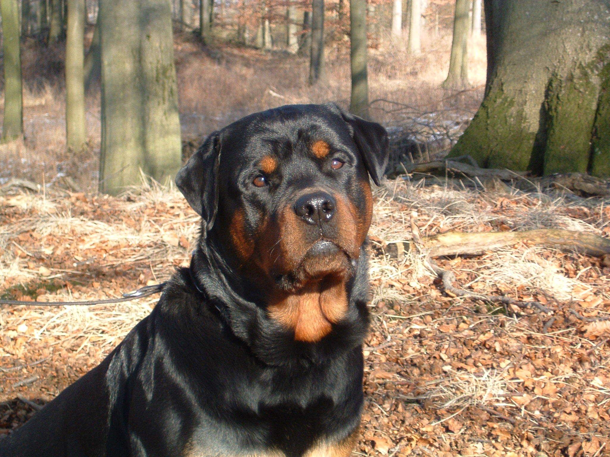 rottweiler dog images - HD1600×1000