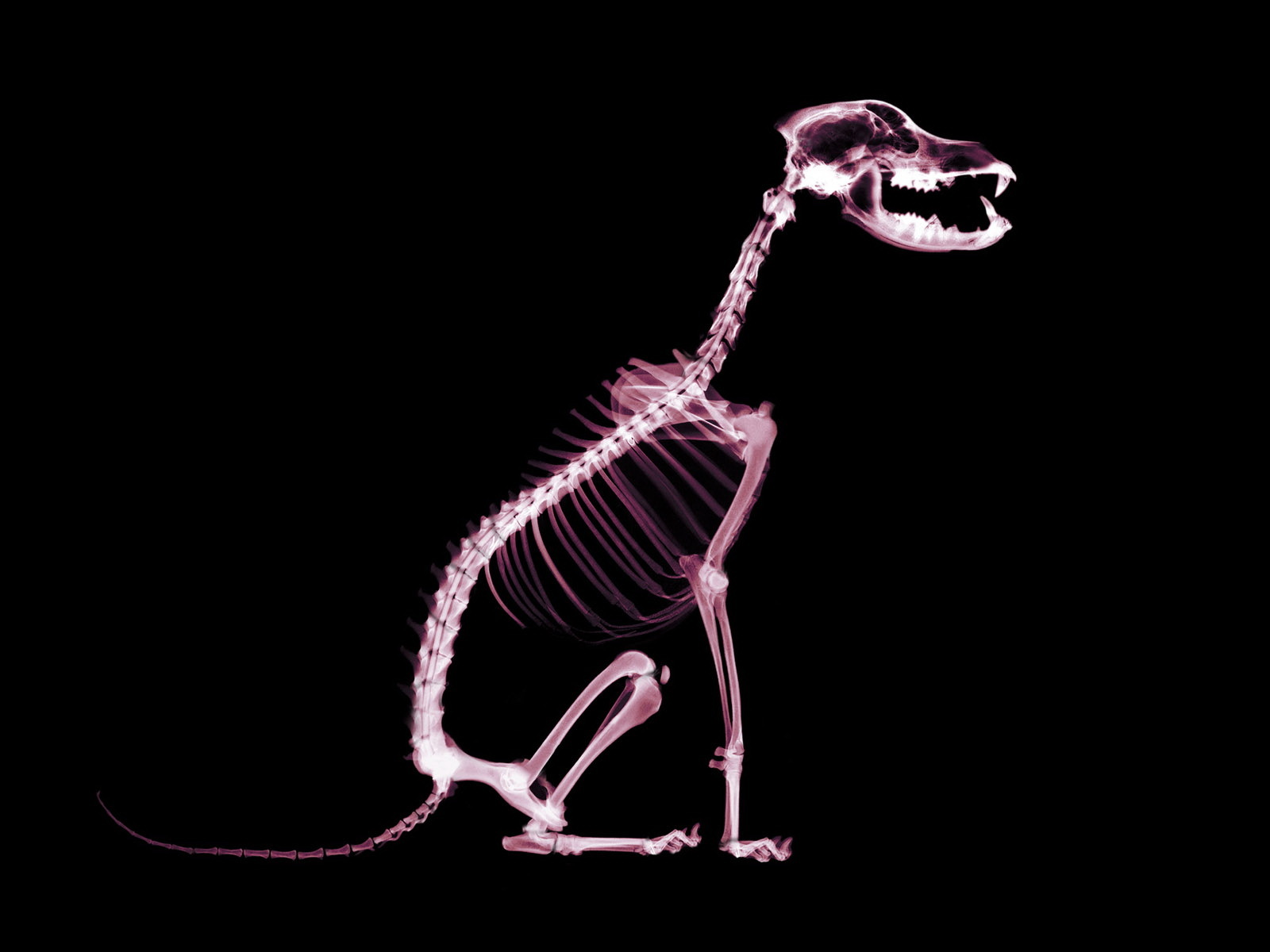 Dogs skeletons X-ray HD Wallpaper