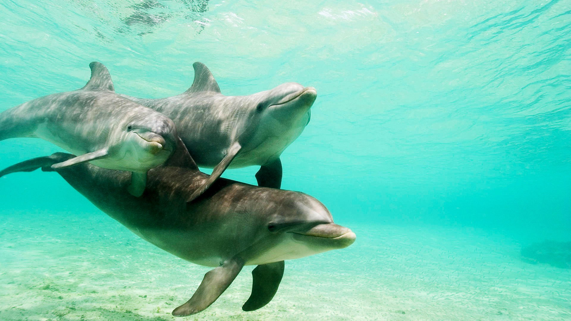 Dolphins underwater HD Wallpaper
