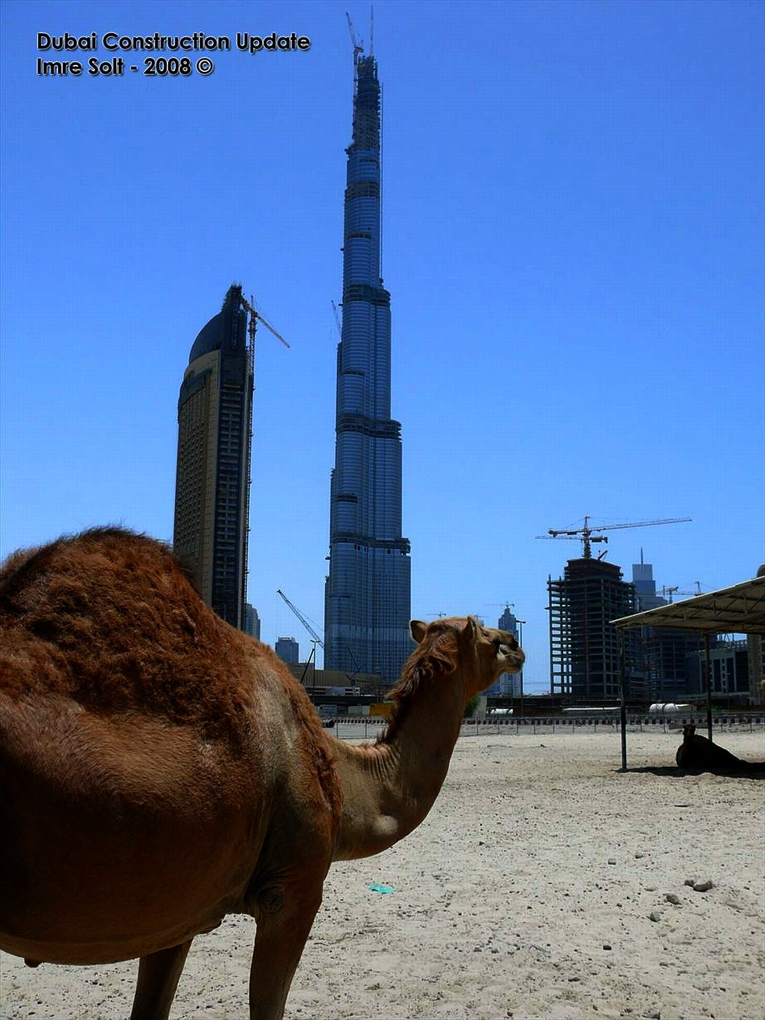 dubai Camels HD Wallpaper