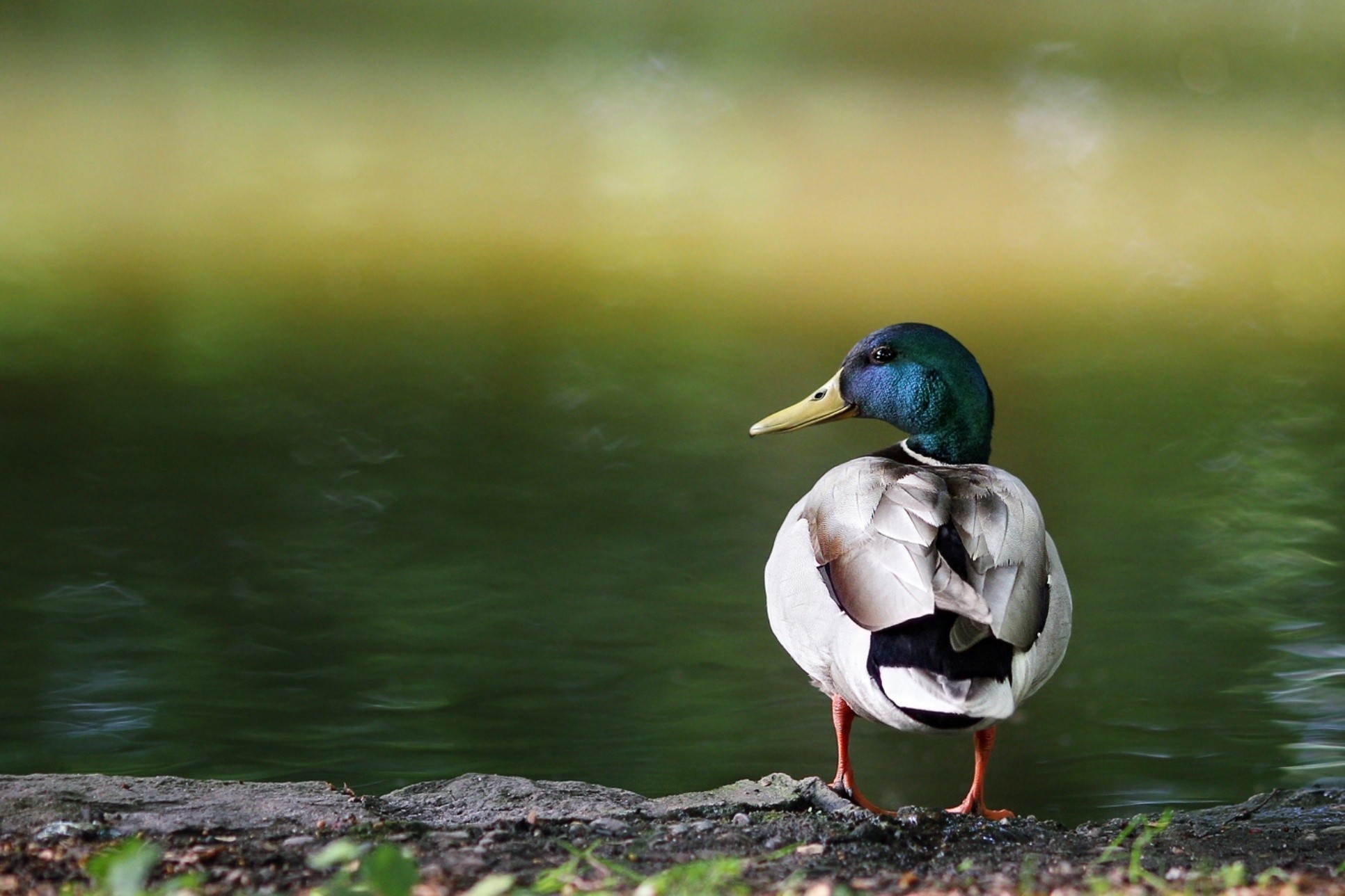 Ducks lakes depth of HD Wallpaper