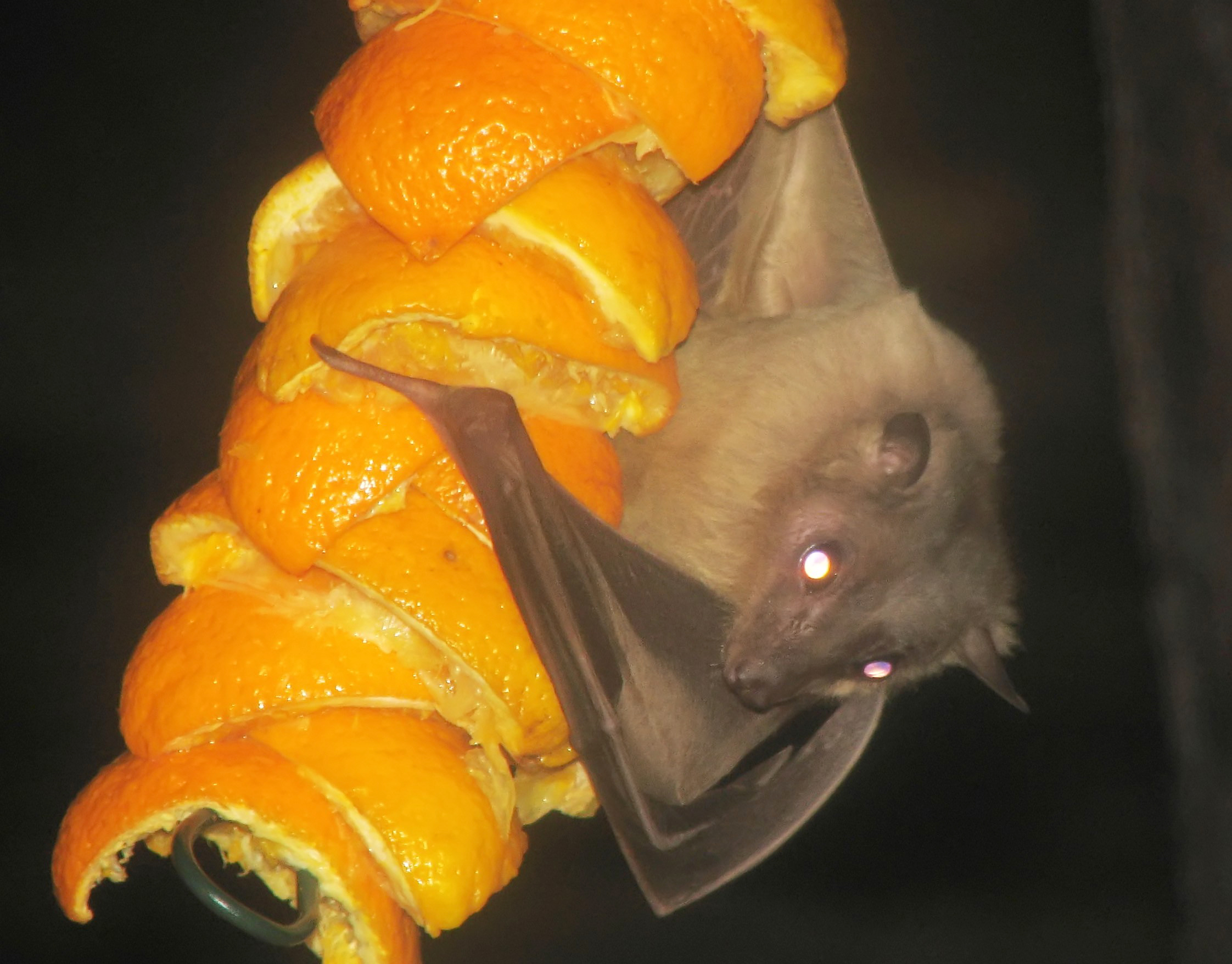 Egyptian fruitbat arp high HD Wallpaper