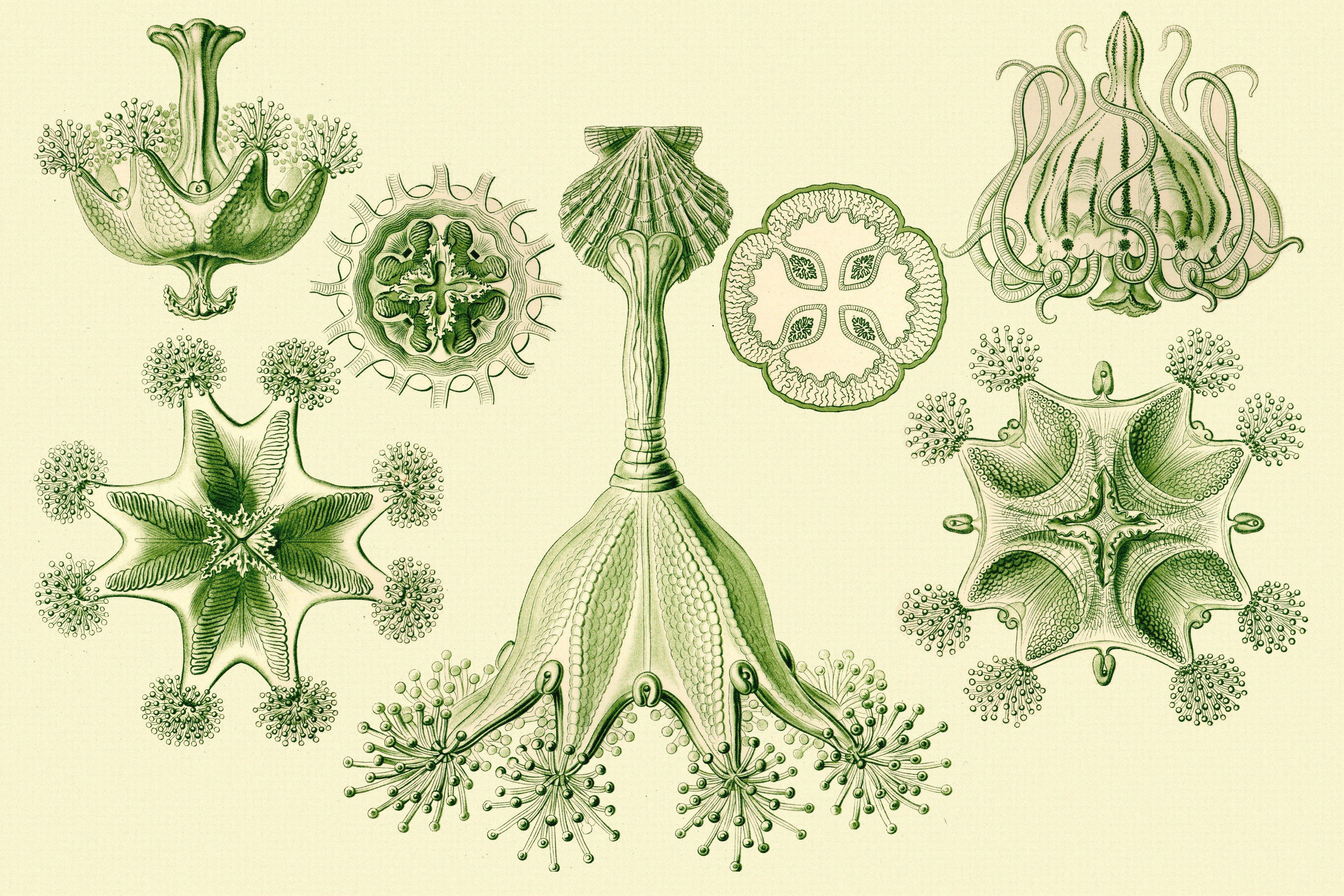 Ernst Haeckel Art Forms HD Wallpaper