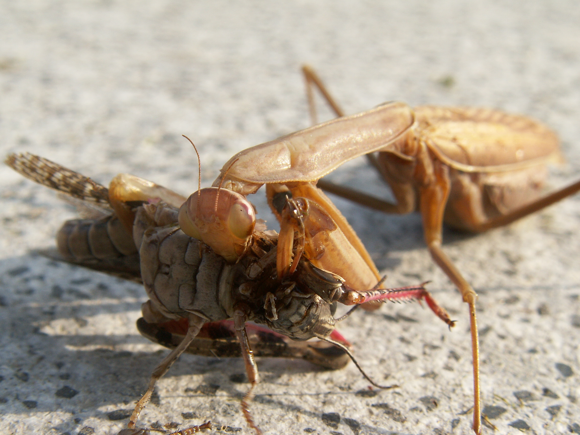european mantis eats grasshopper HD Wallpaper