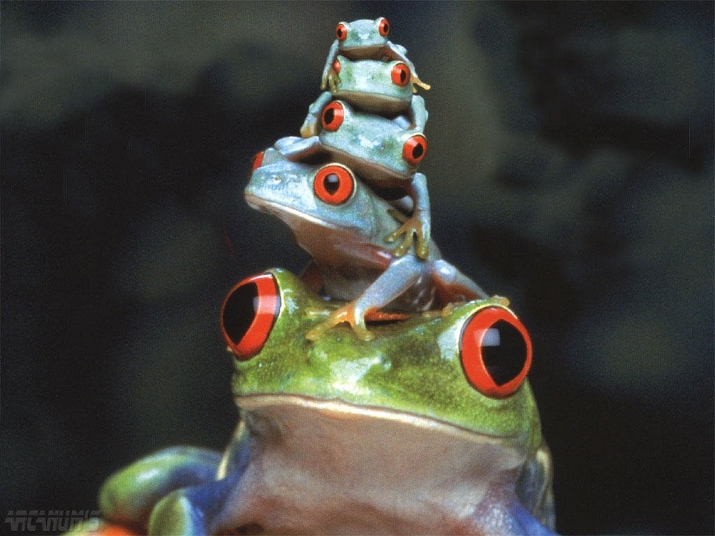family Frogs Red-Eyed Tree HD Wallpaper