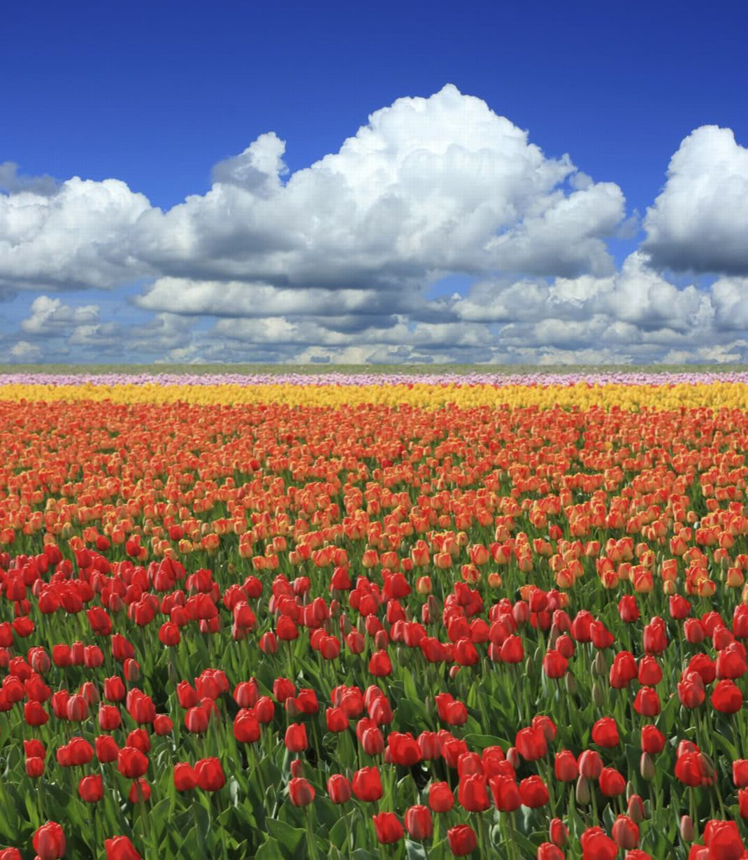 fields tulips HD Wallpaper
