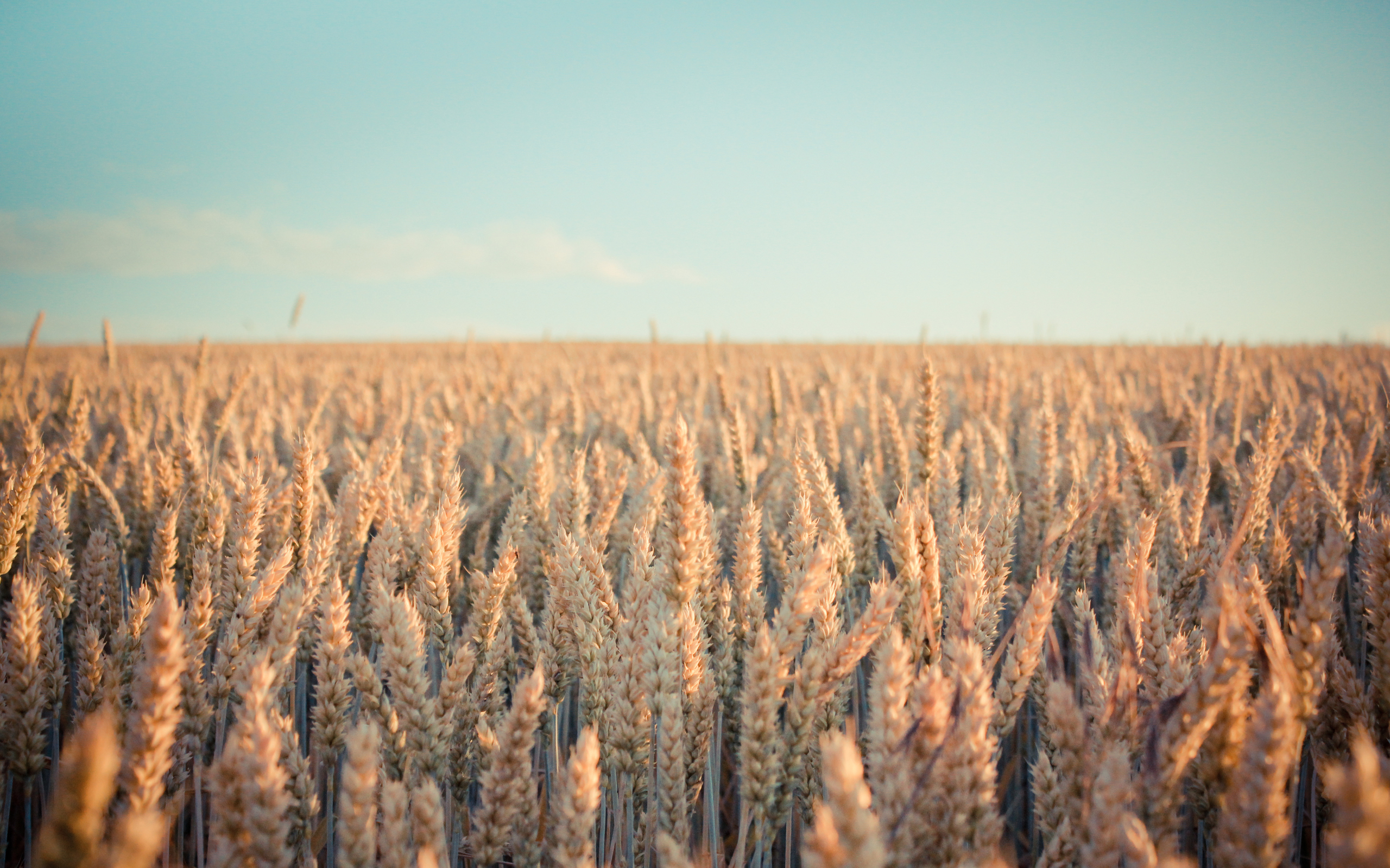 fields wheat HD Wallpaper