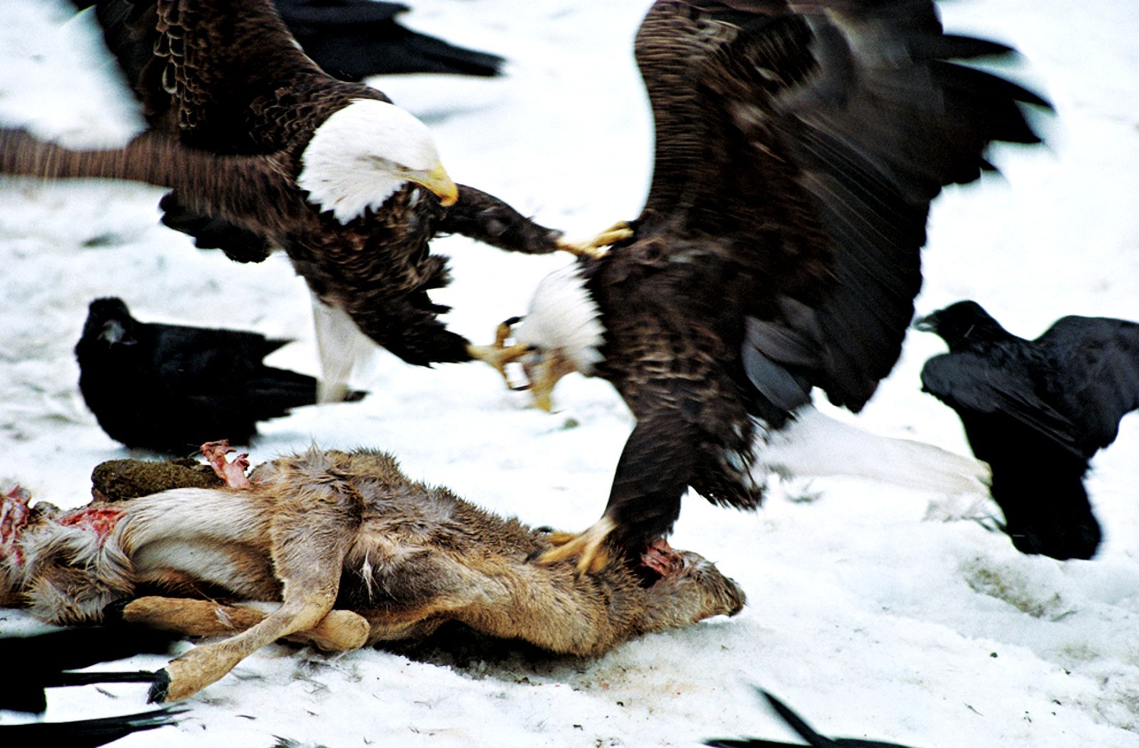 fight wildlife HD Wallpaper