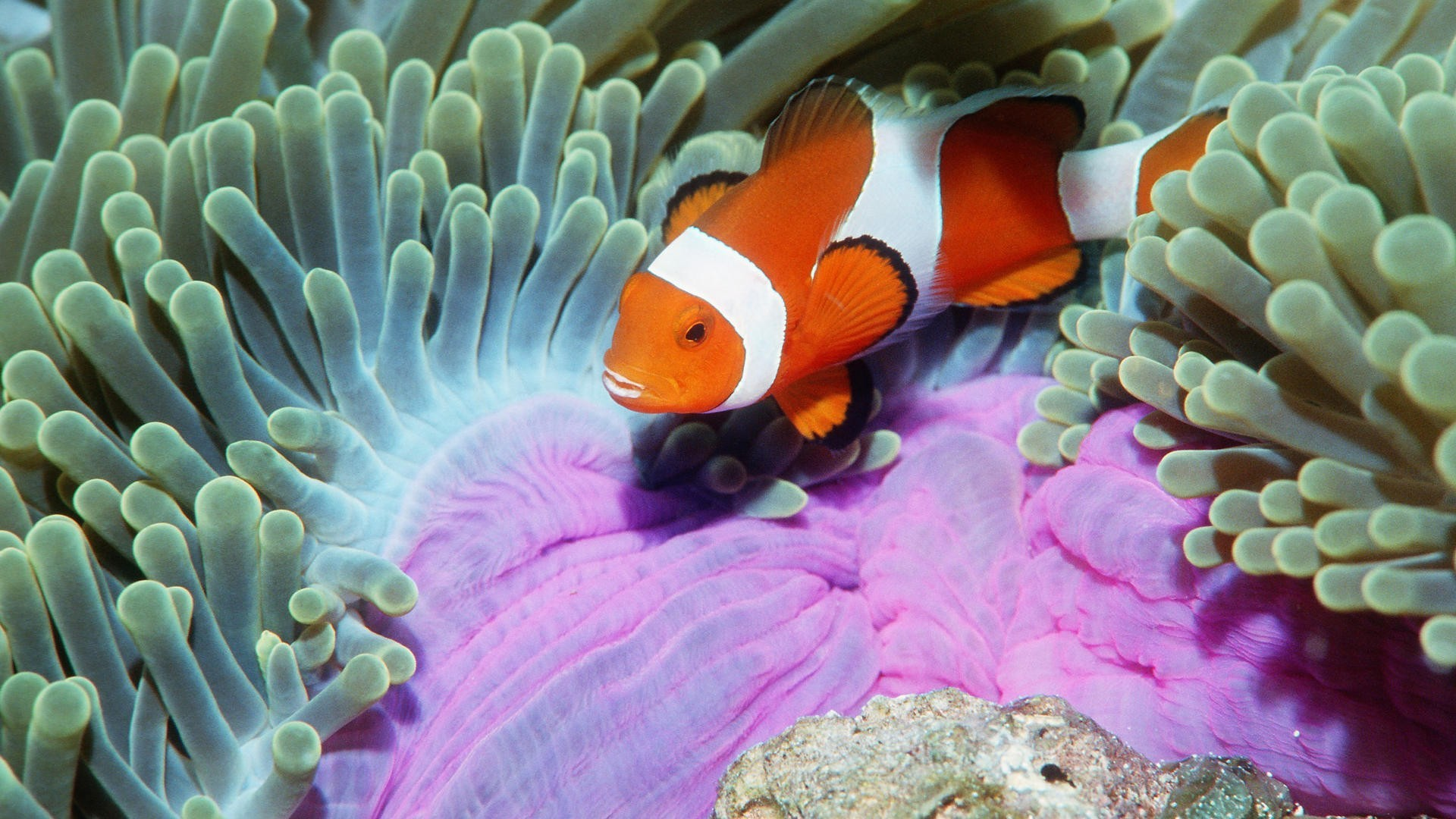 fish clownfish HD Wallpaper