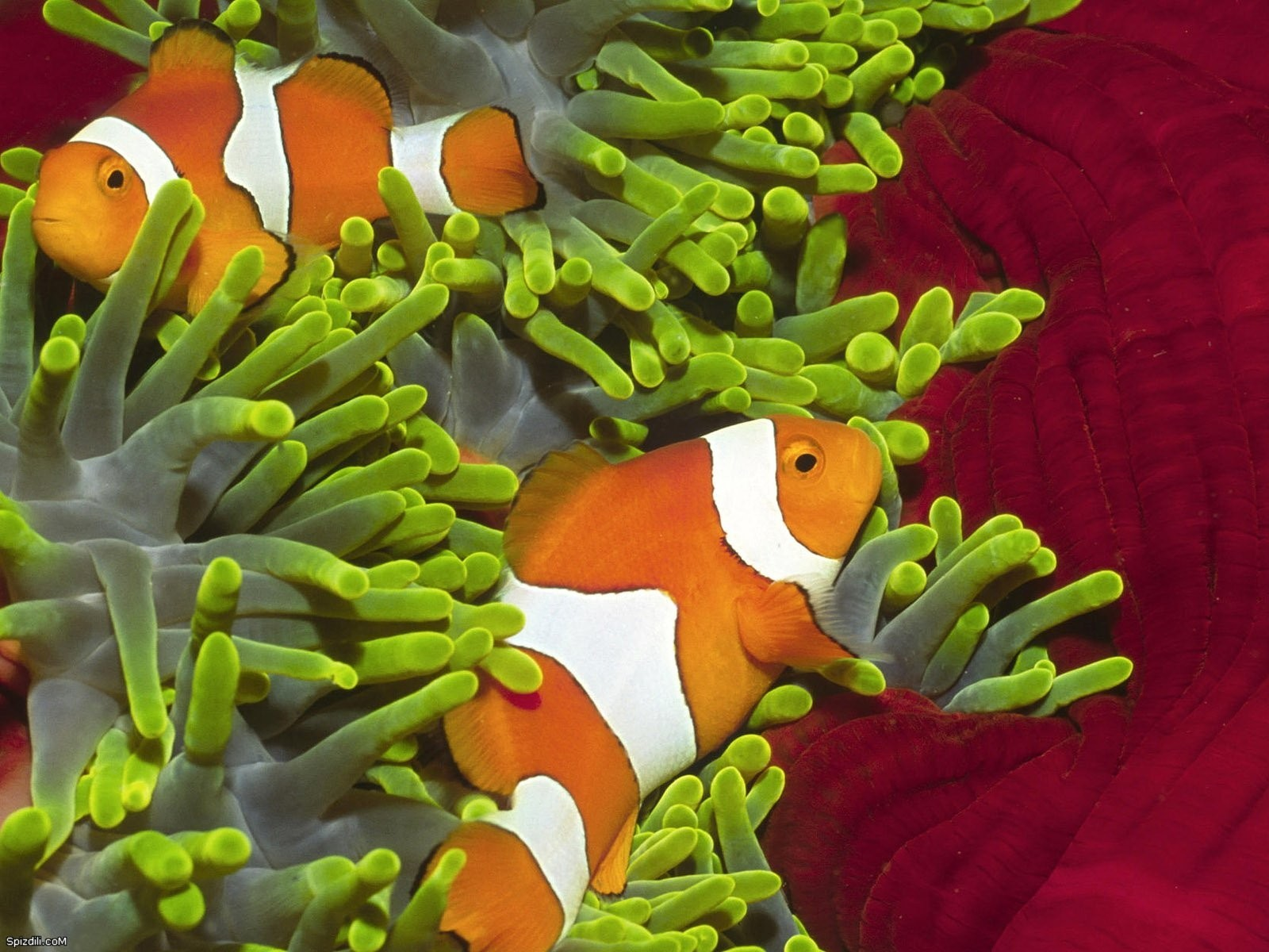 fish clownfish sea anemones HD Wallpaper