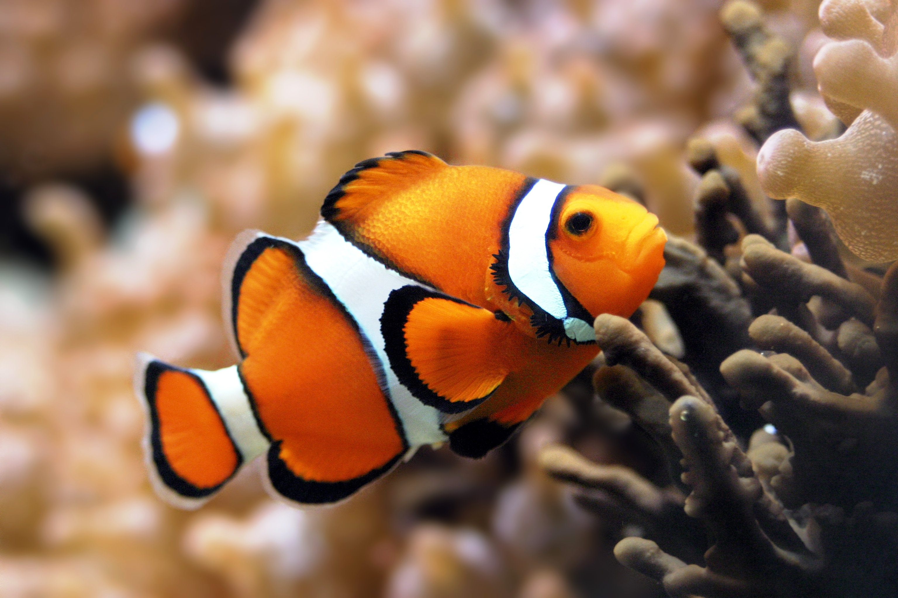 fish clownfish sealife