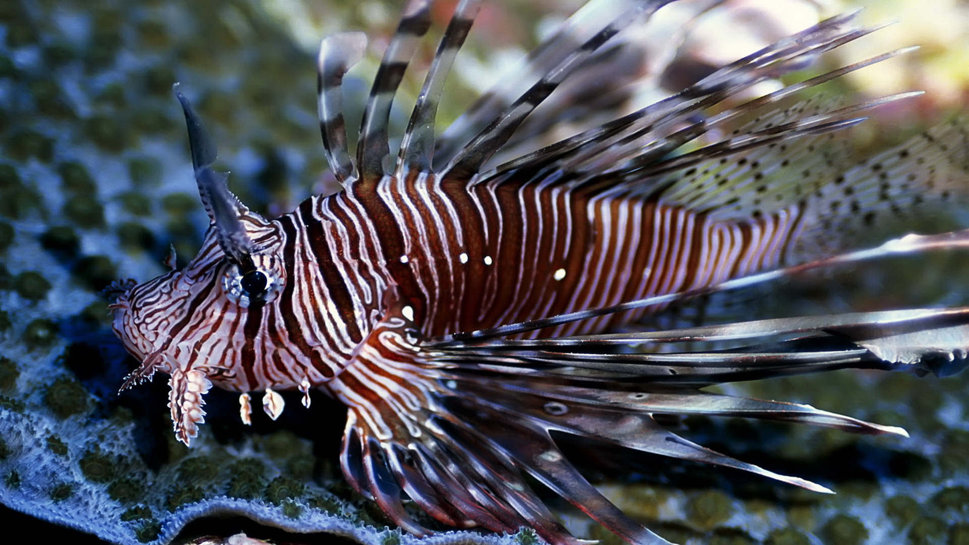 fish lionfish HD Wallpaper