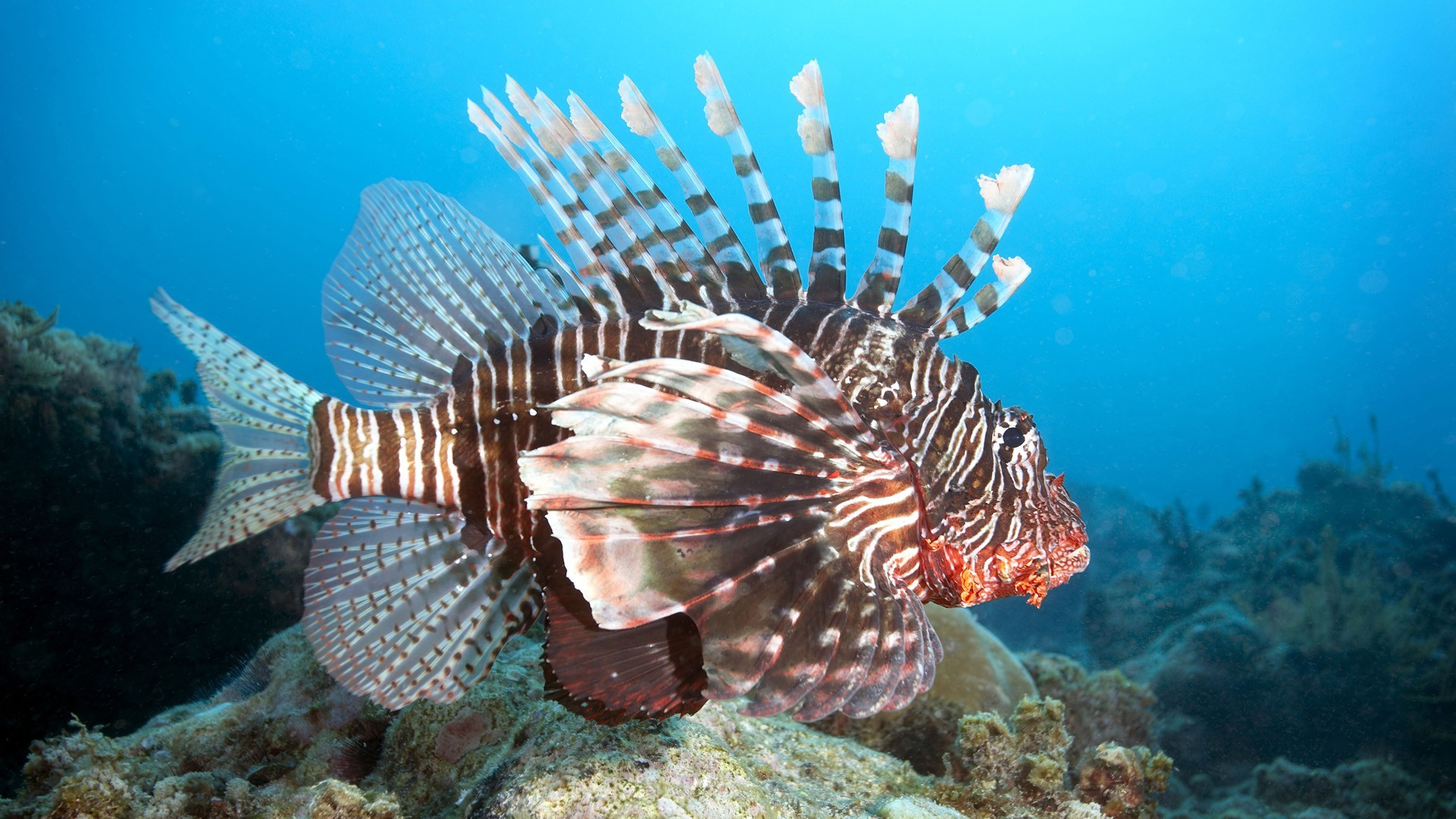 fish lionfish underwater HD Wallpaper