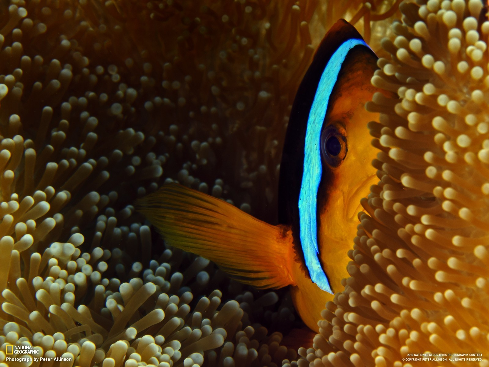 fish national geographic clownfish HD Wallpaper