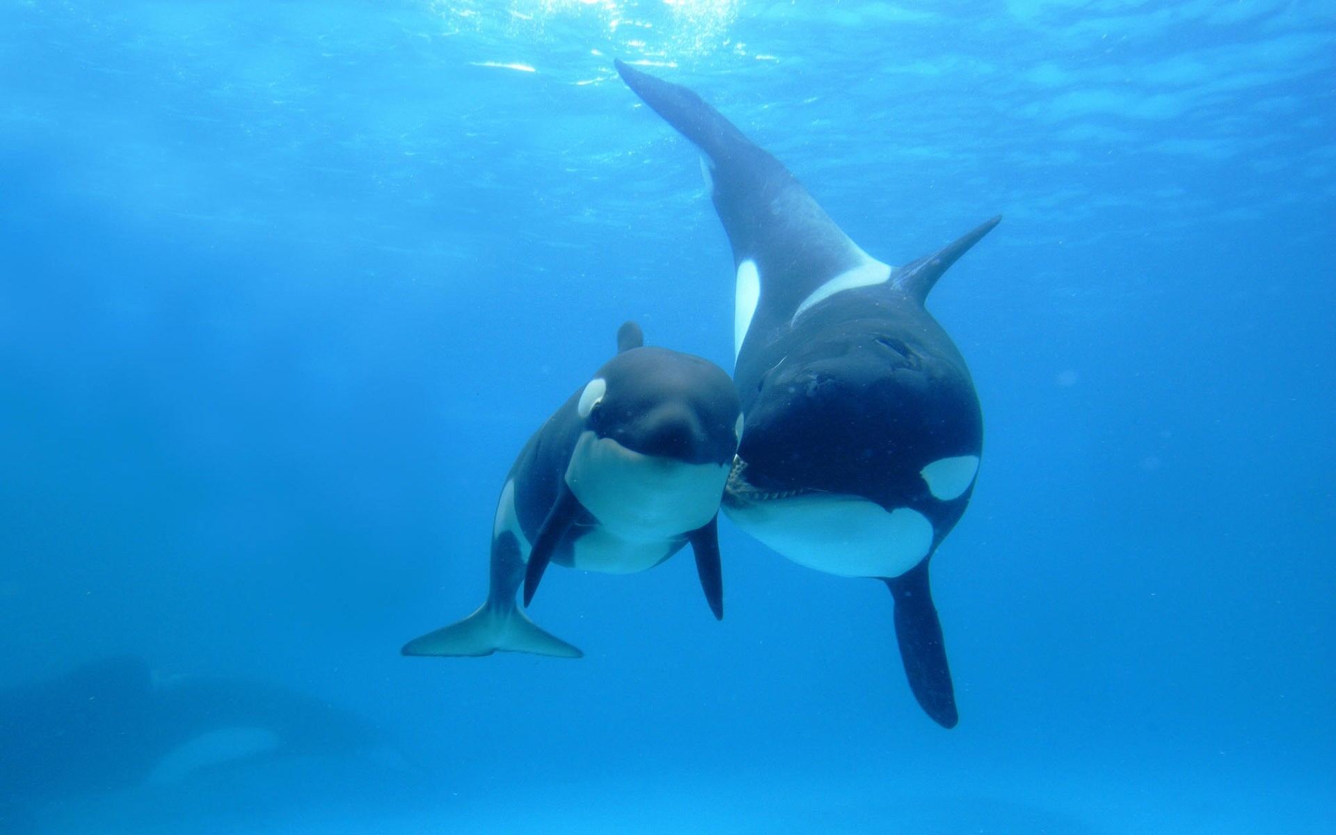 fish Whales killer whales HD Wallpaper