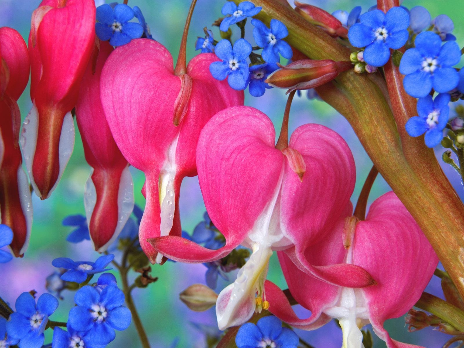Flowers Forget-me-nots Bleeding Hearts HD Wallpaper