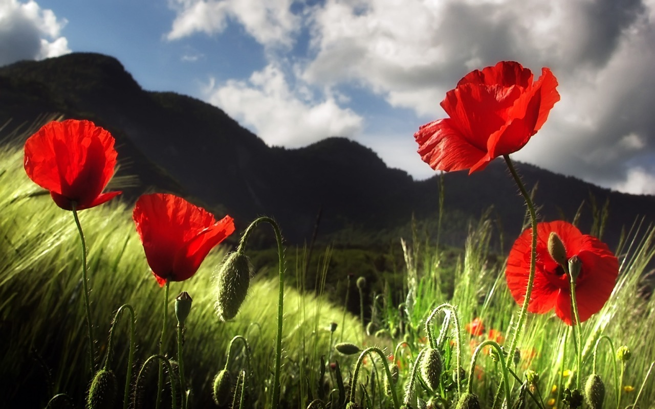 Flowers grass poppy nature HD Wallpaper