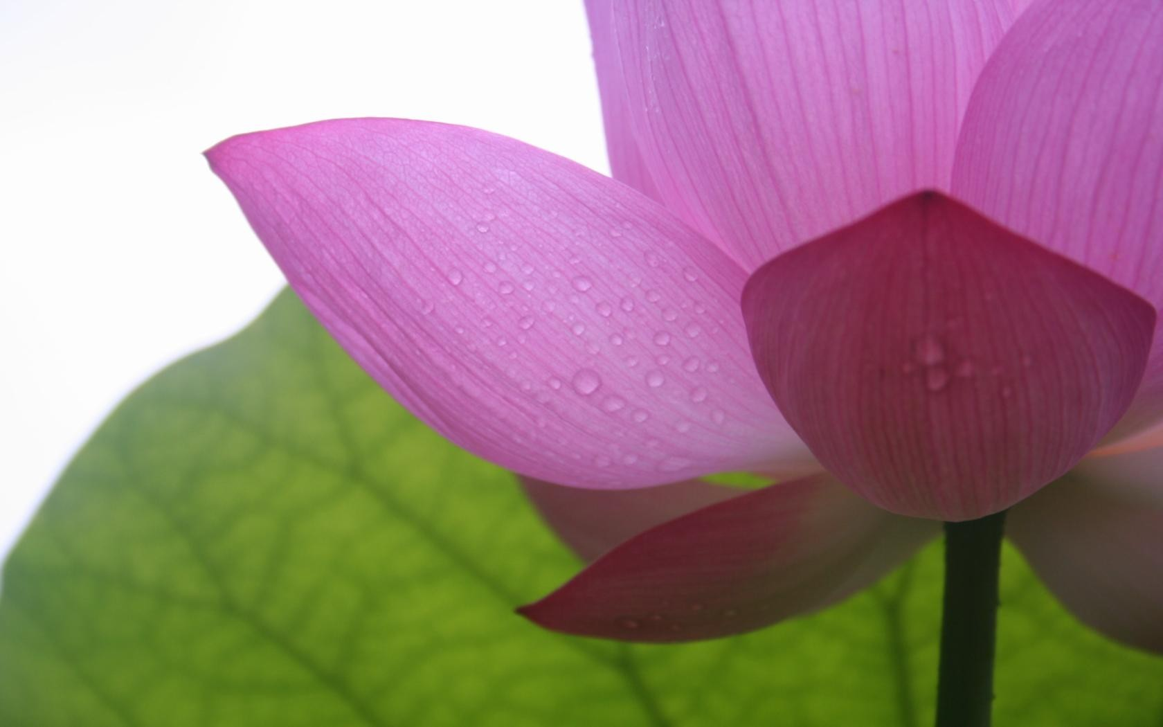 Flowers lotus flower HD Wallpaper