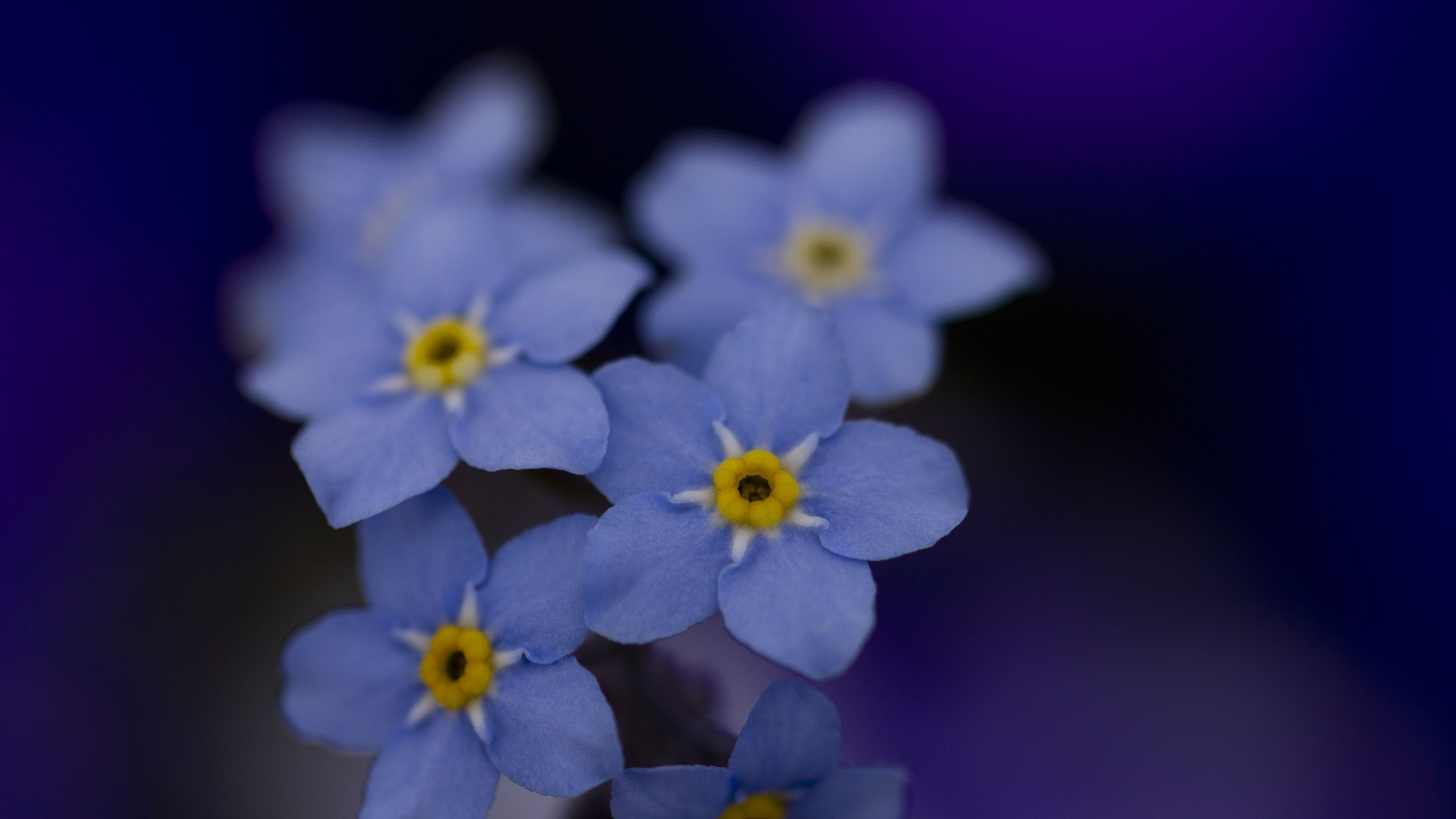 Flowers macro Forget-me-nots HD Wallpaper