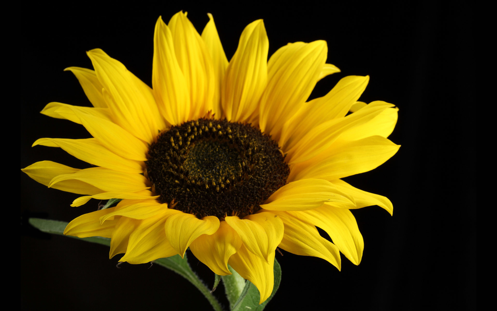 Flowers Plants Sunflowers sunflower HD Wallpaper