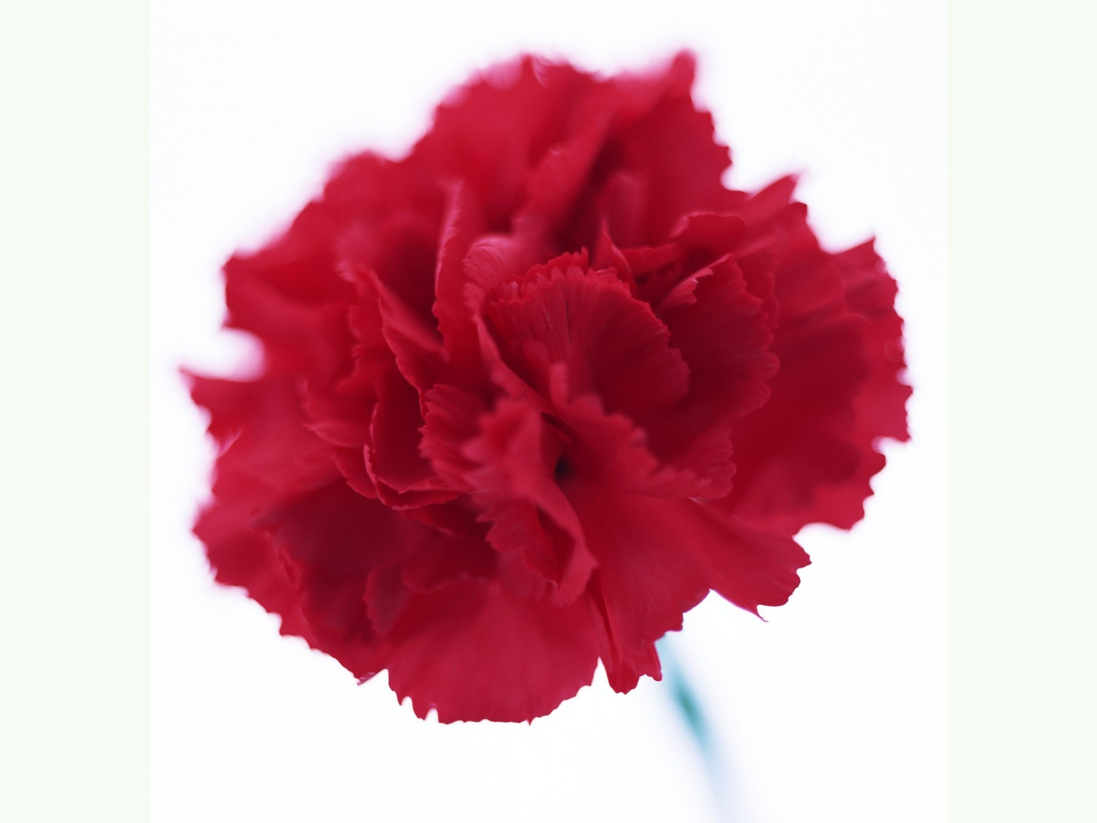 Flowers red flowers carnations HD Wallpaper