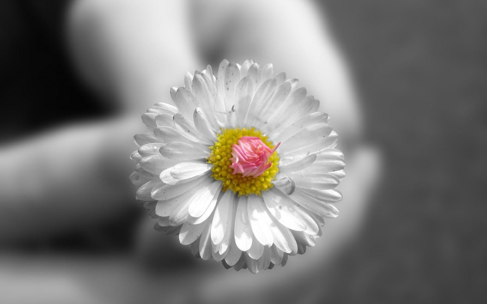 Flowers selective coloring small HD Wallpaper