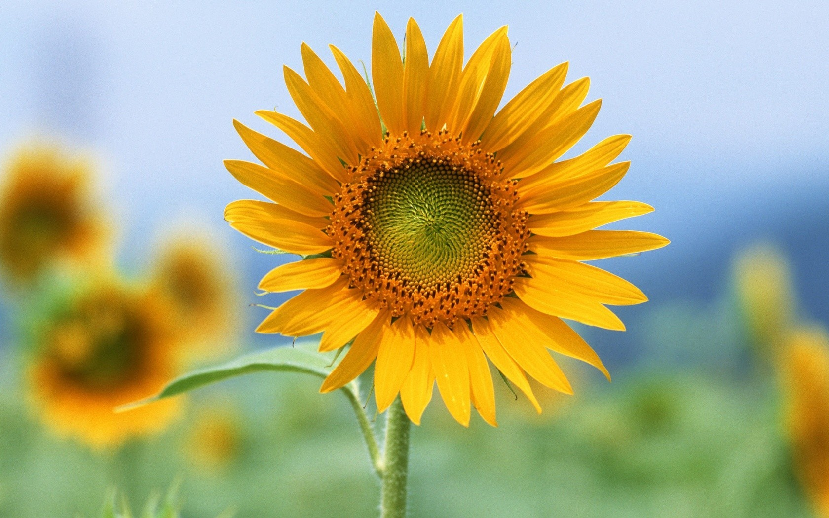 Flowers Sunflowers HD Wallpaper