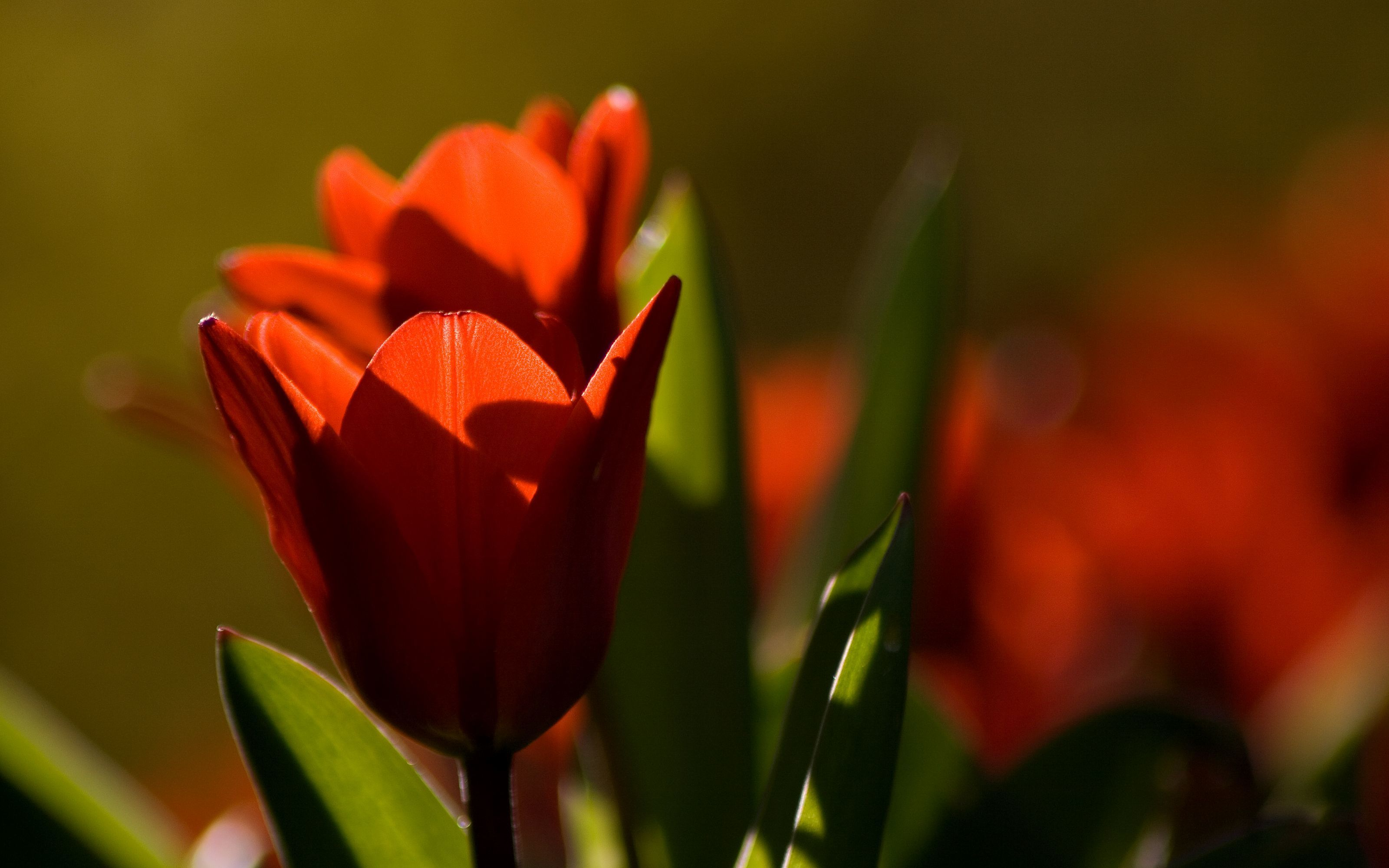 Flowers tulips red flower HD Wallpaper