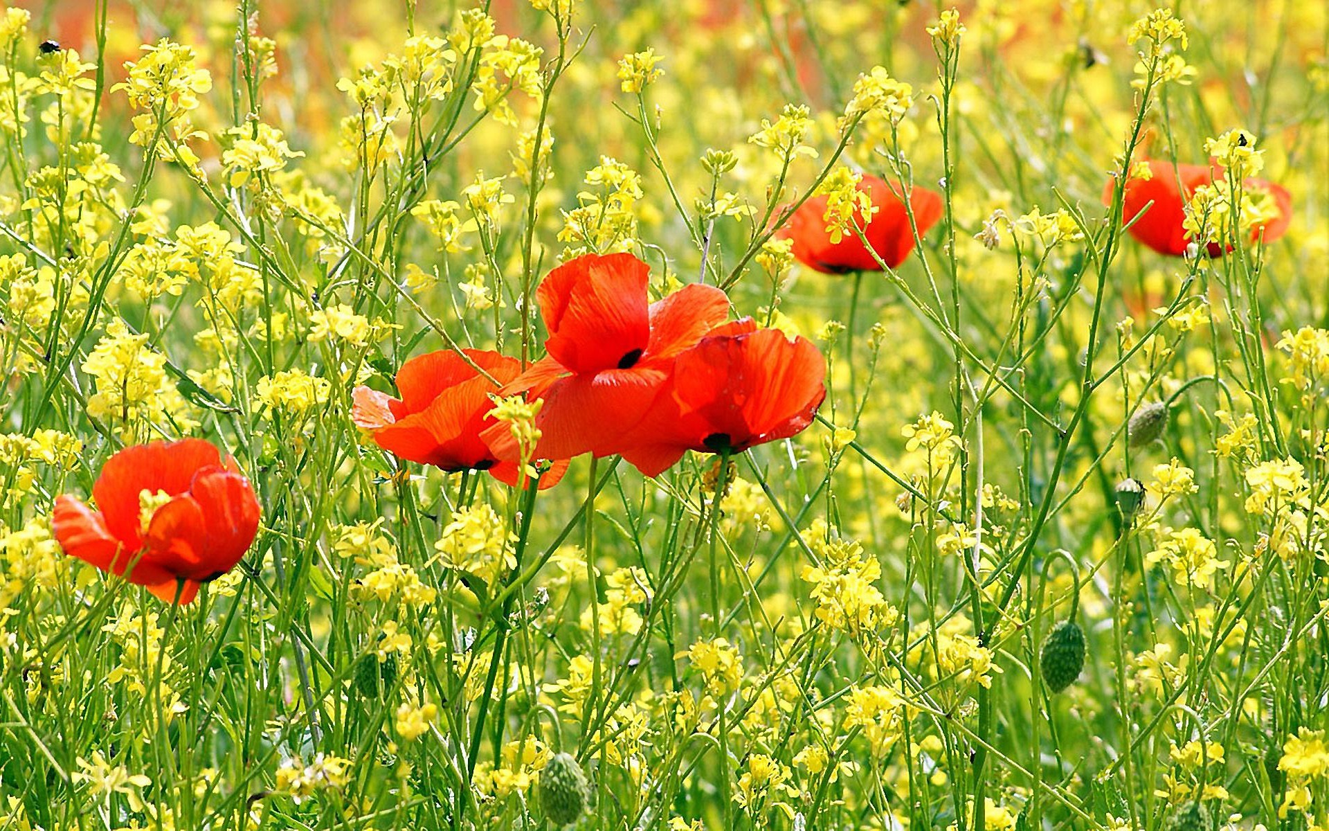 Flowers yellow flowers red HD Wallpaper
