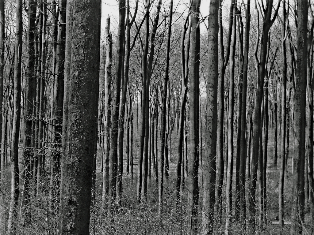 forest Trees bw large HD Wallpaper