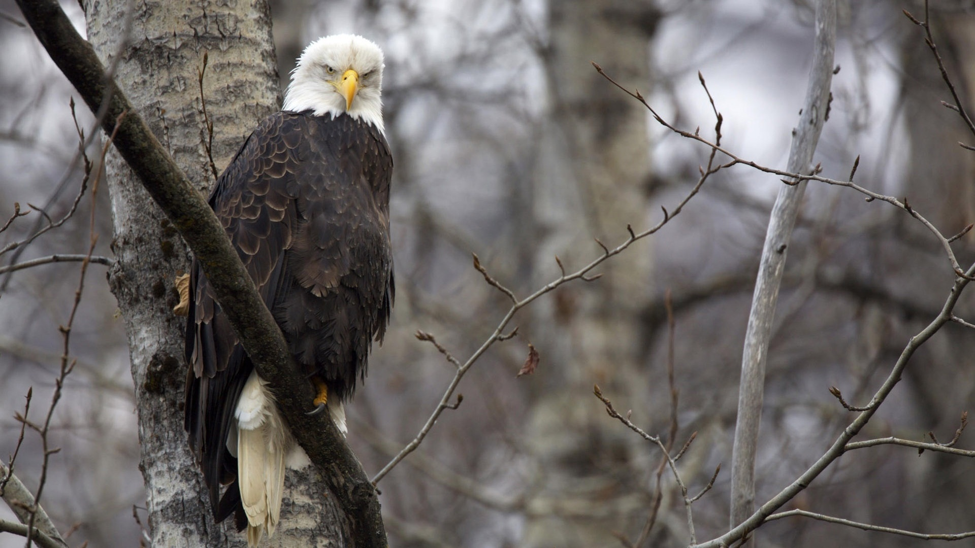 forests bald eagles HD Wallpaper