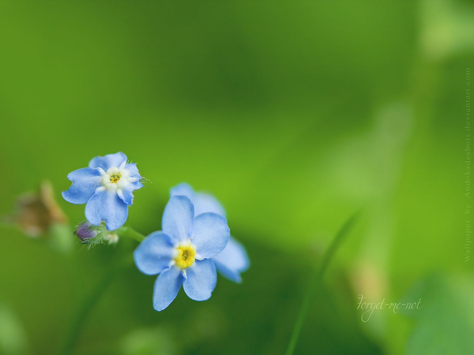 Forget-me-nots HD Wallpaper