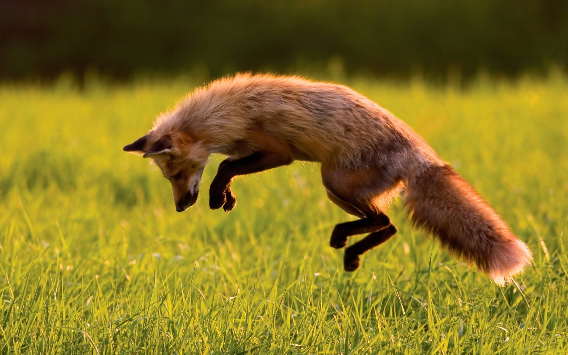 foxes red Animals grass HD Wallpaper