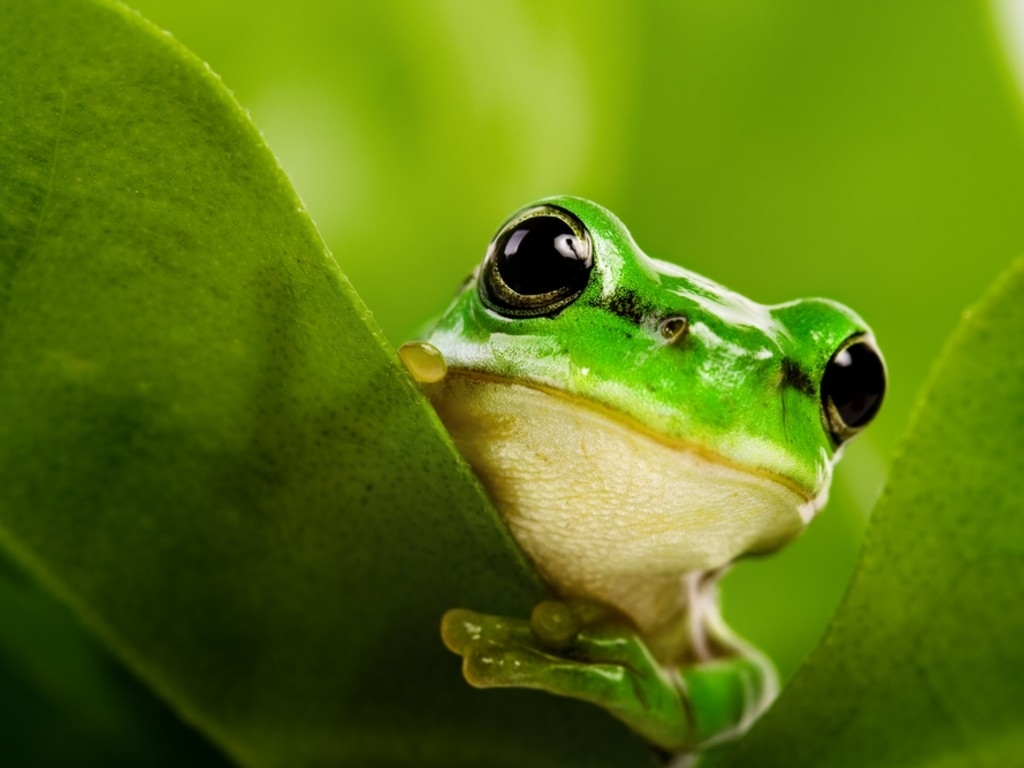 Frogs amphibians HD Wallpaper