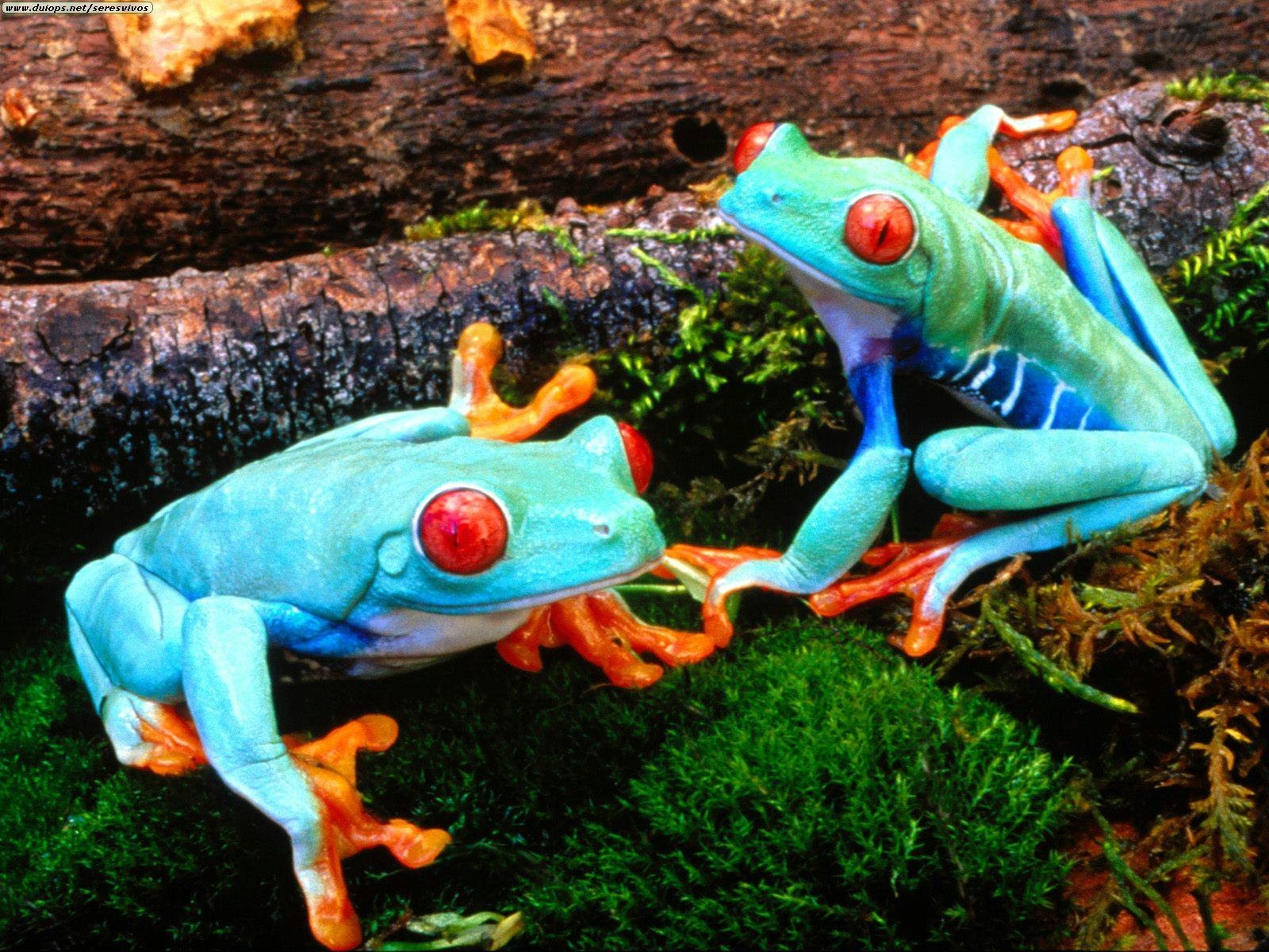 Frogs Red-Eyed Tree Frog HD Wallpaper