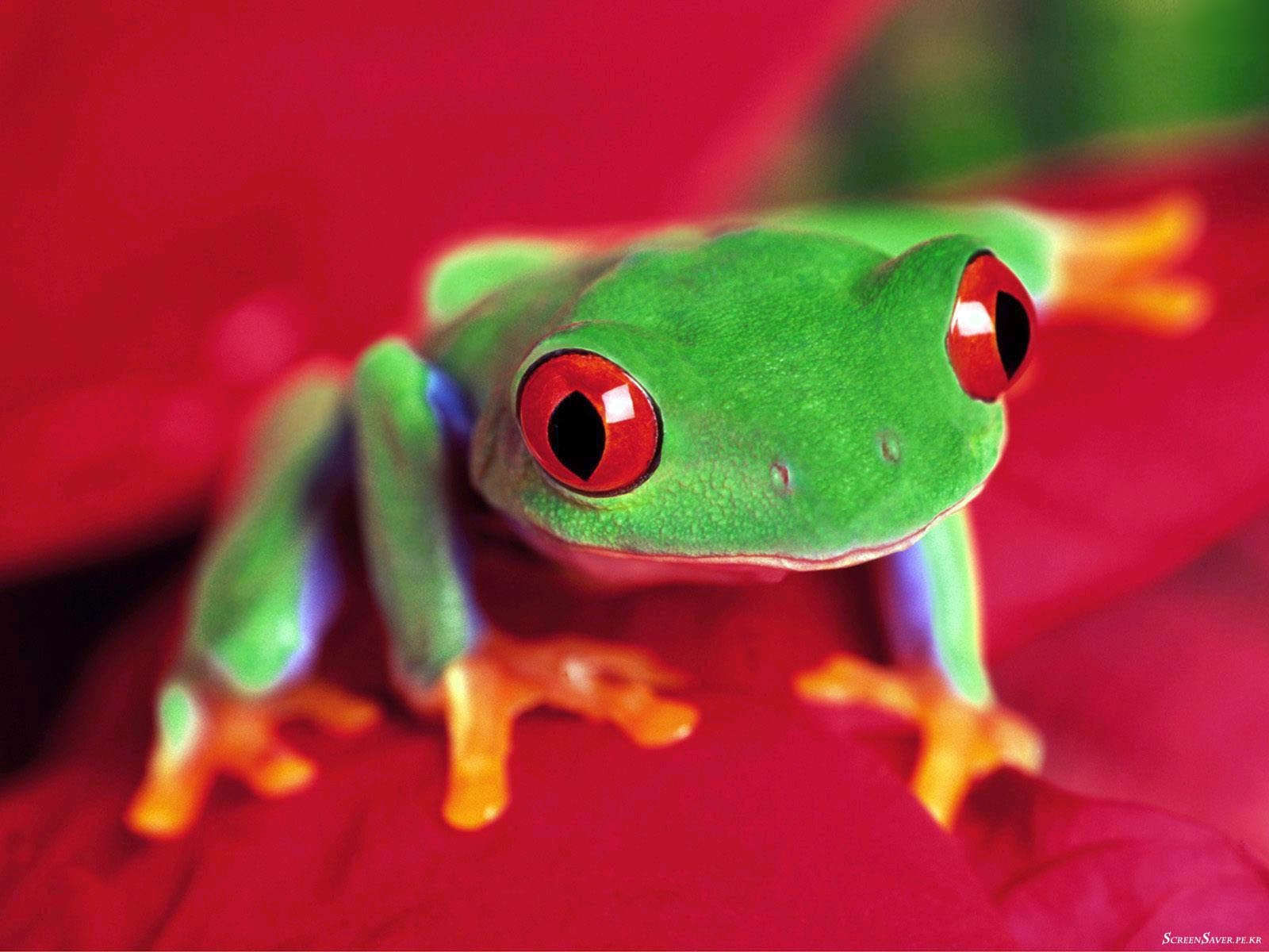 Frogs Red-Eyed Tree Frog