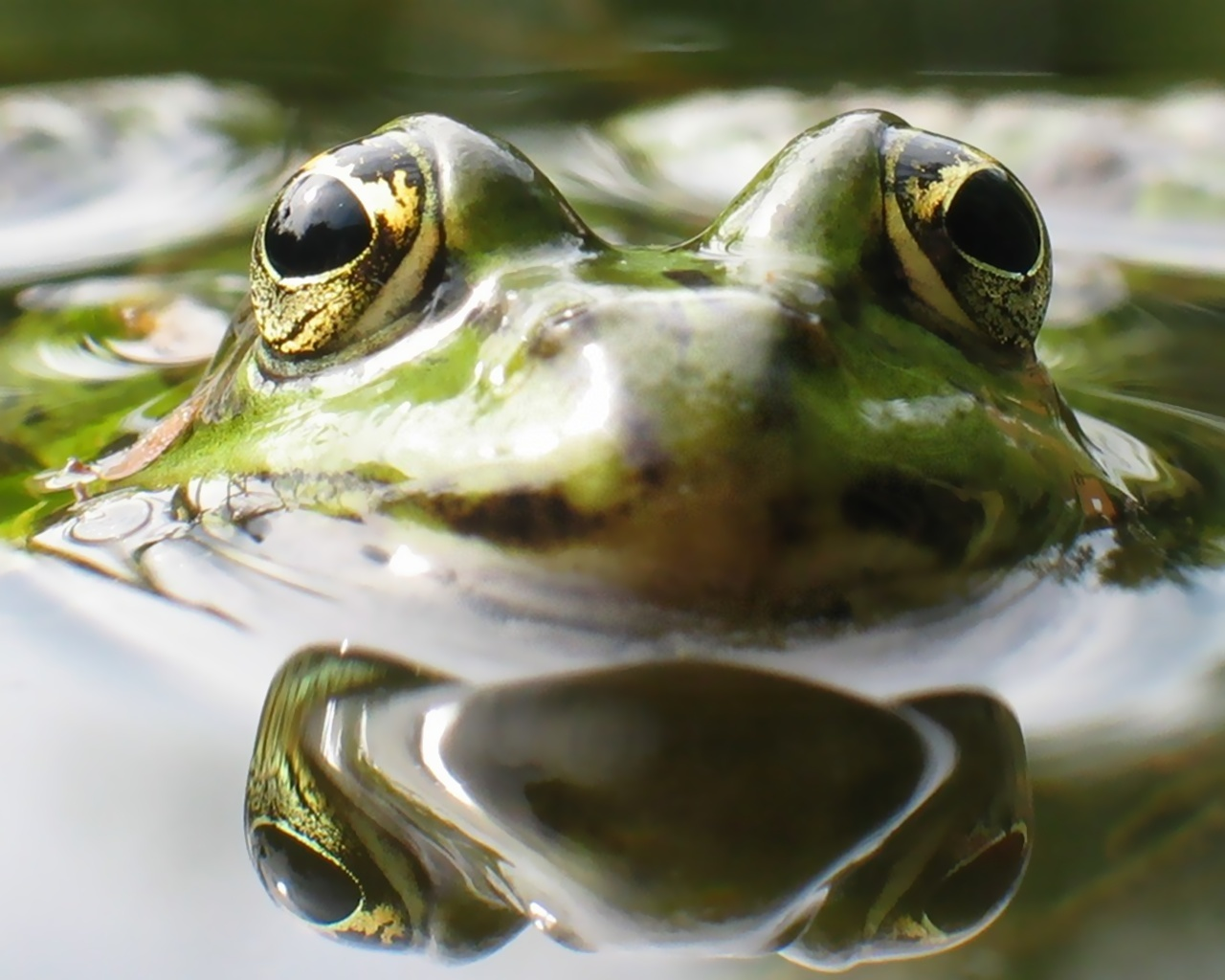 Frogs reflected water Animals HD Wallpaper