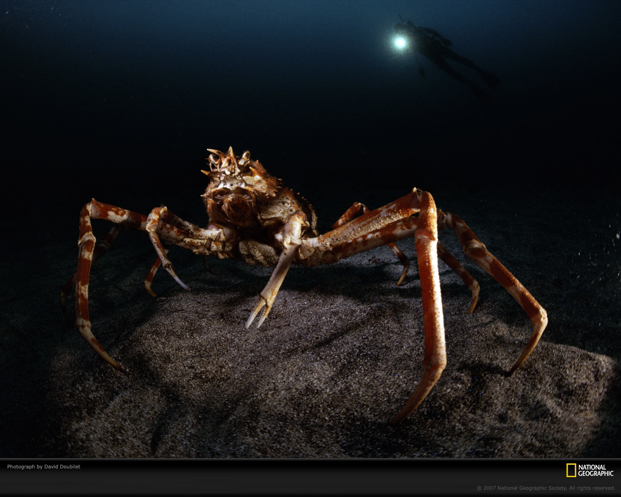 giant spider crab xl HD Wallpaper