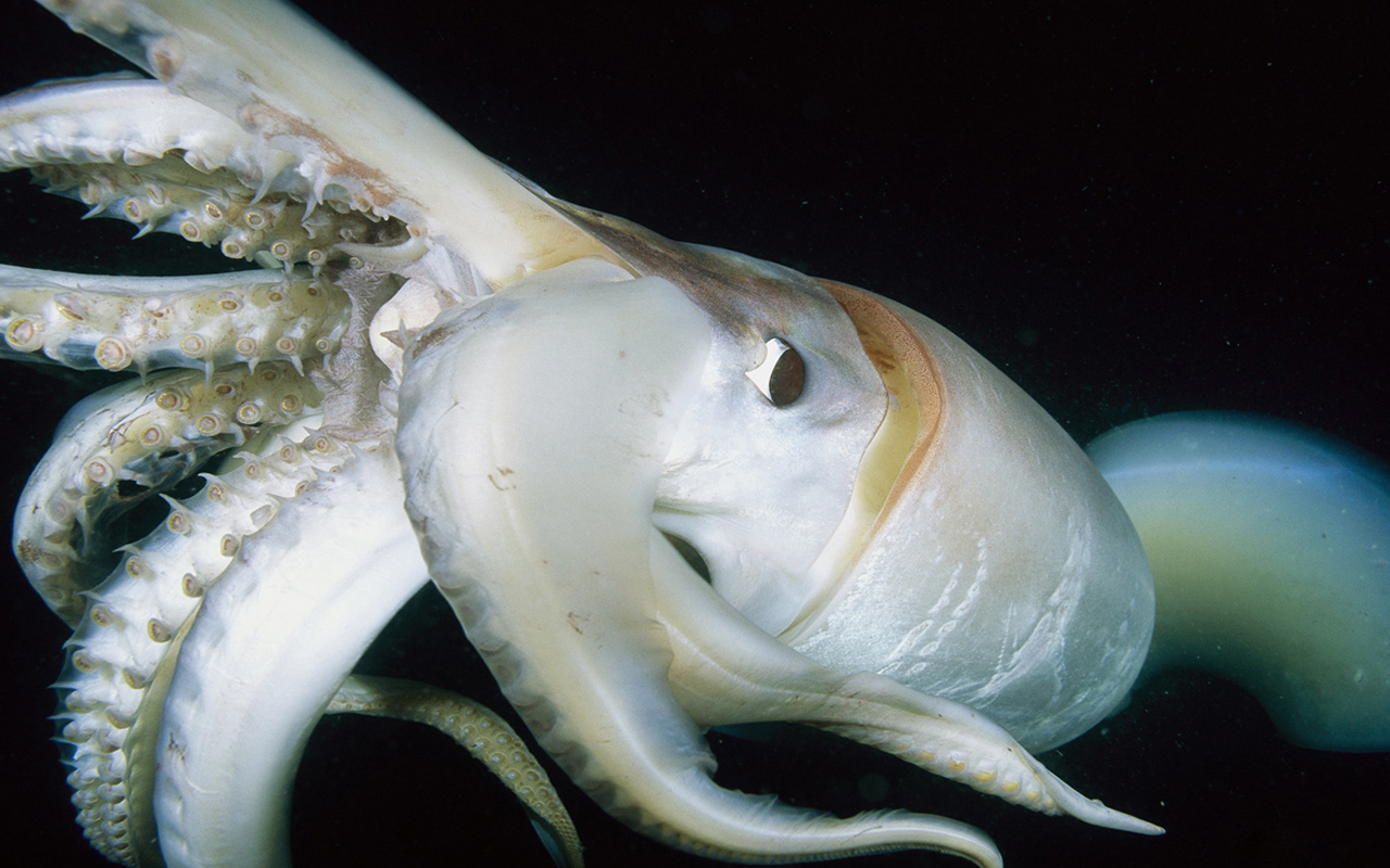 giant squid Architeuthis Wild HD Wallpaper