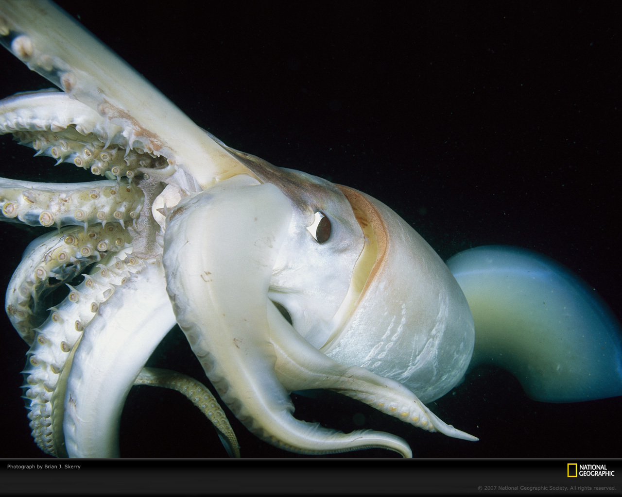 giant squid close Up HD Wallpaper
