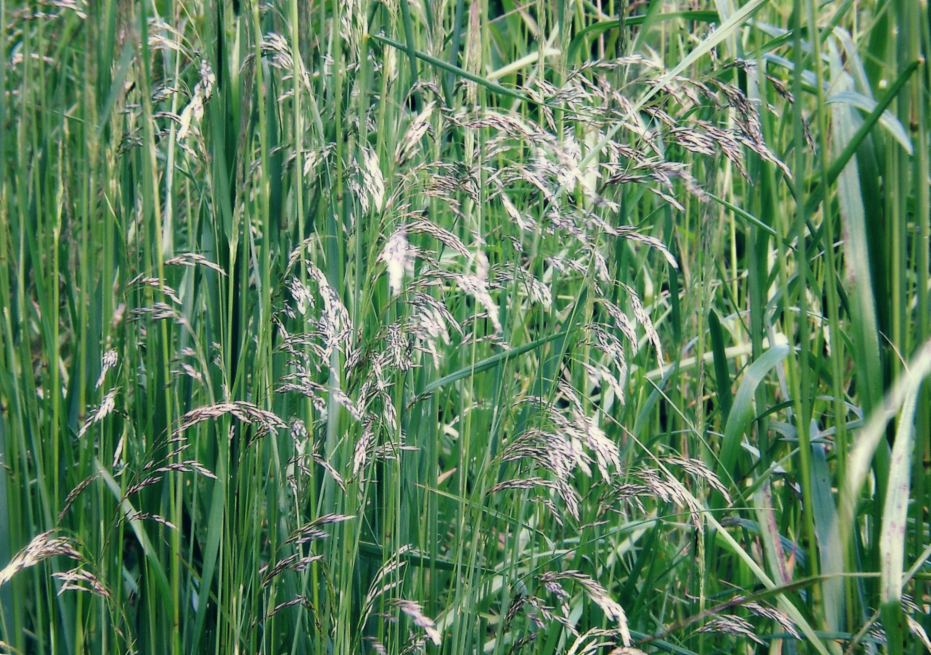 grass bent field nature