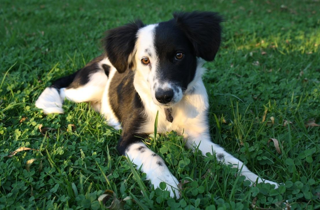 grass Puppies border collies HD Wallpaper