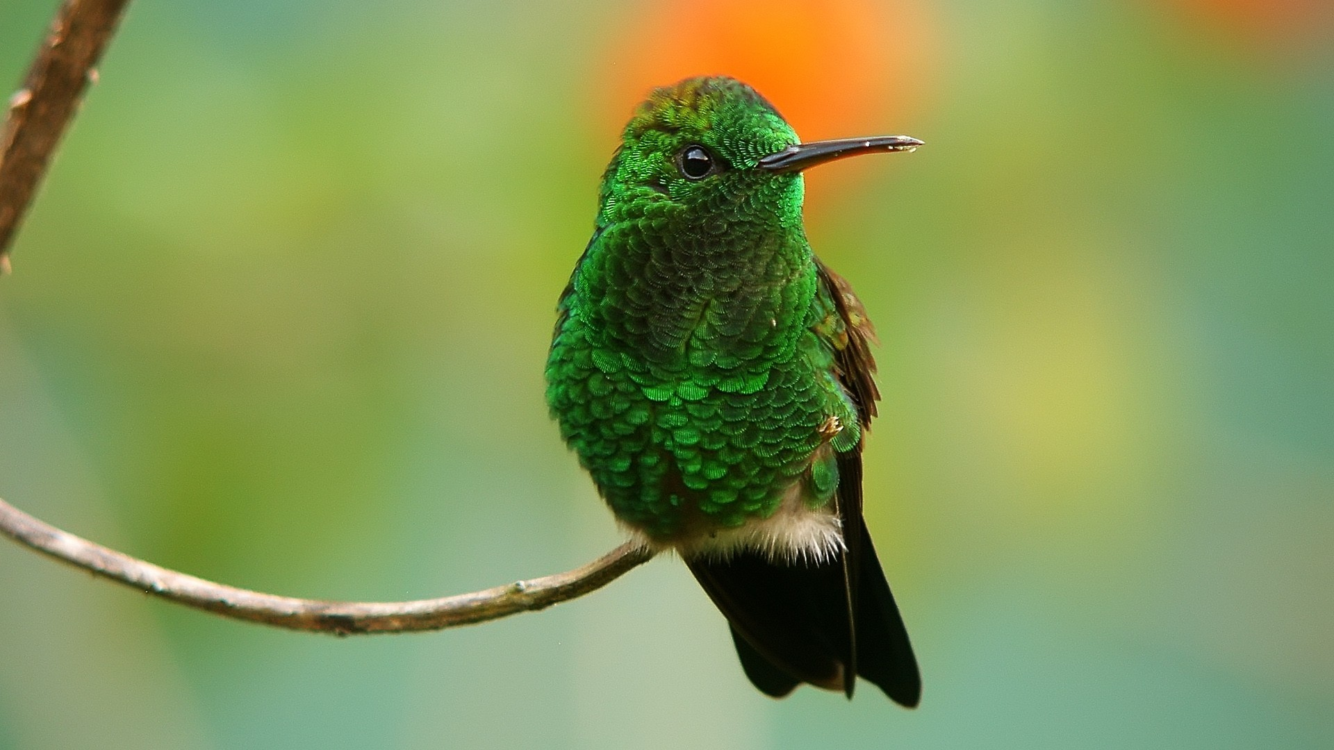 Green Birds hummingbirds iridescence HD Wallpaper
