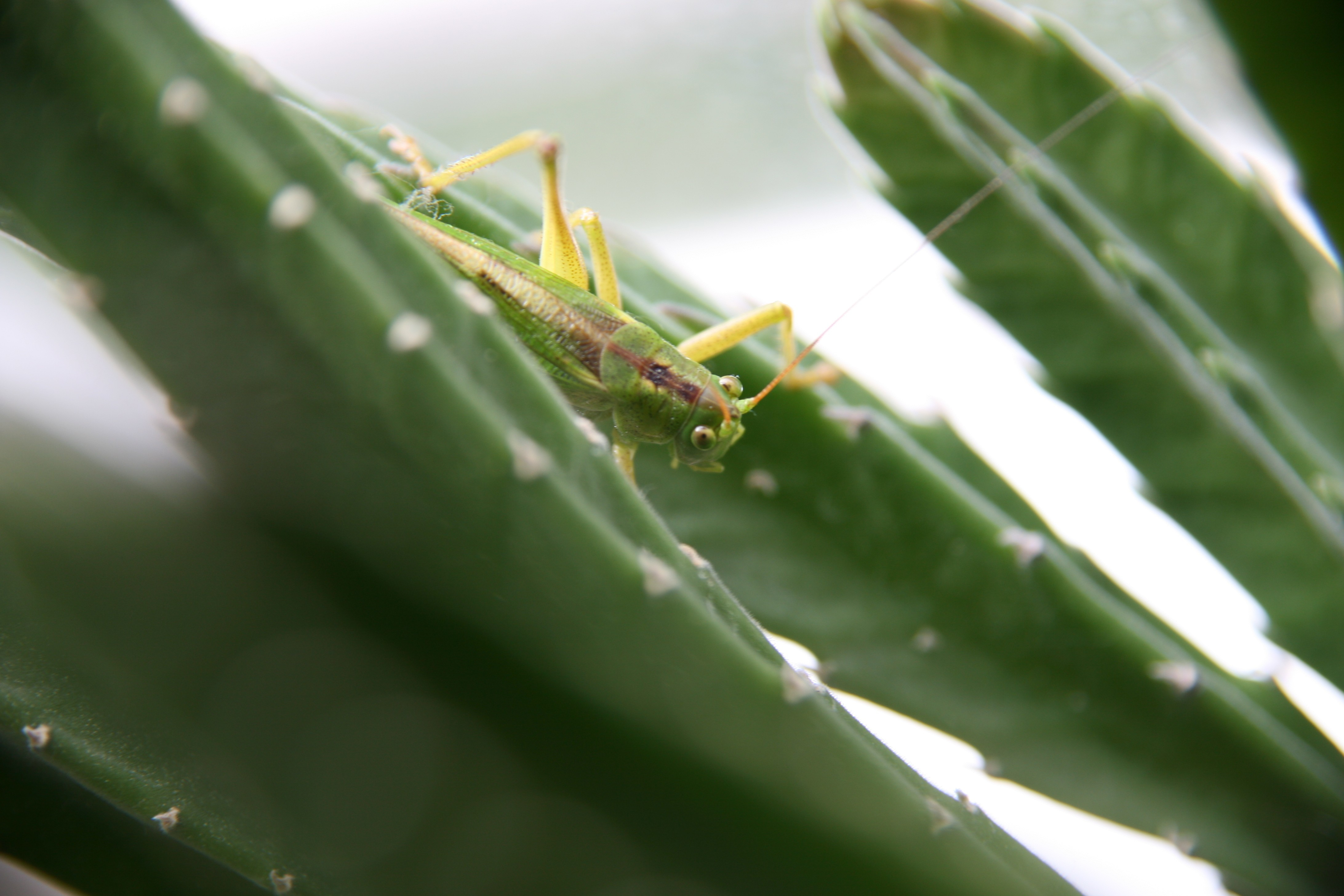 Green insects grasshopper HD Wallpaper