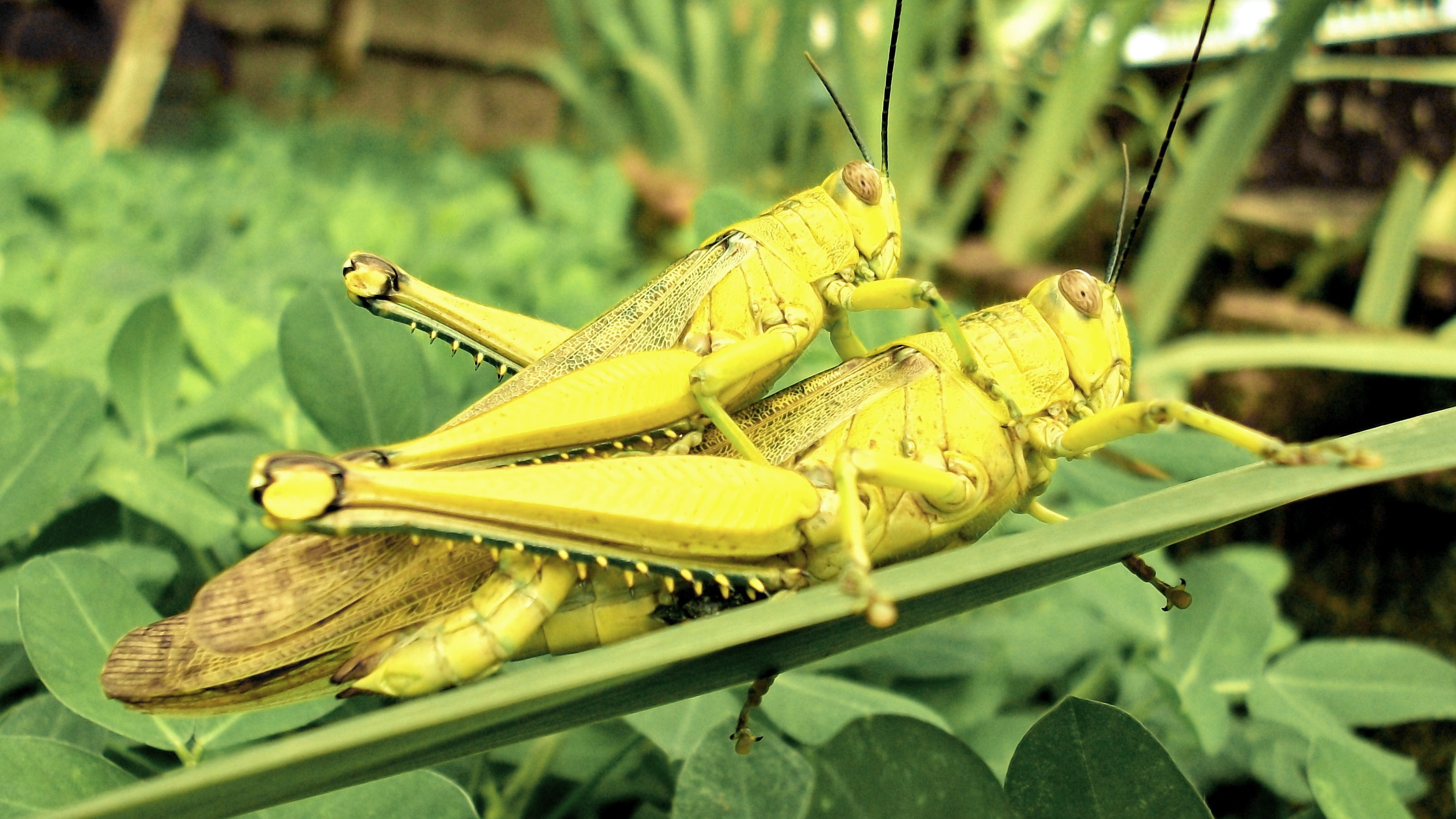 Green insects grasshopper wild HD Wallpaper