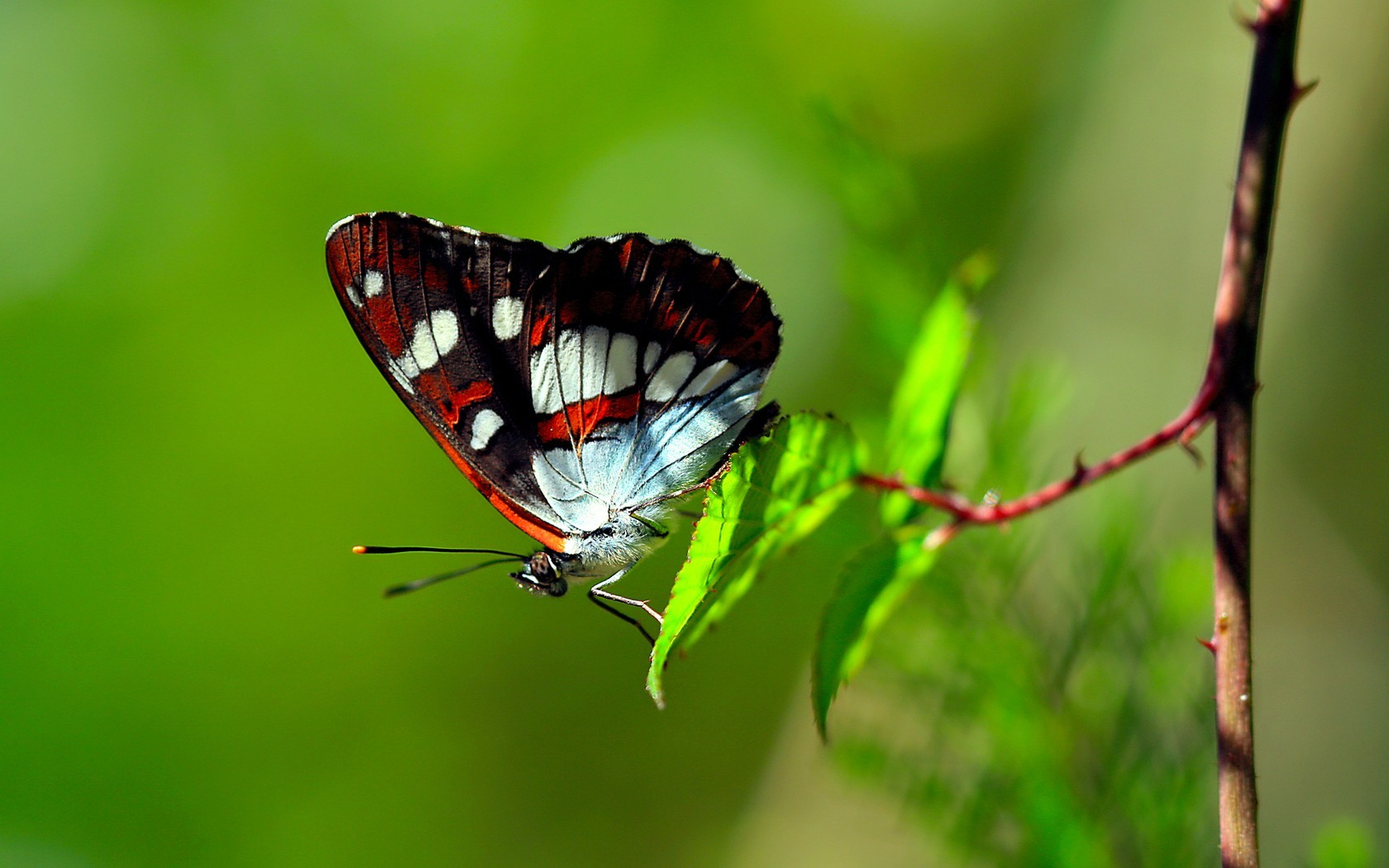 Green nature insects Butterflies HD Wallpaper