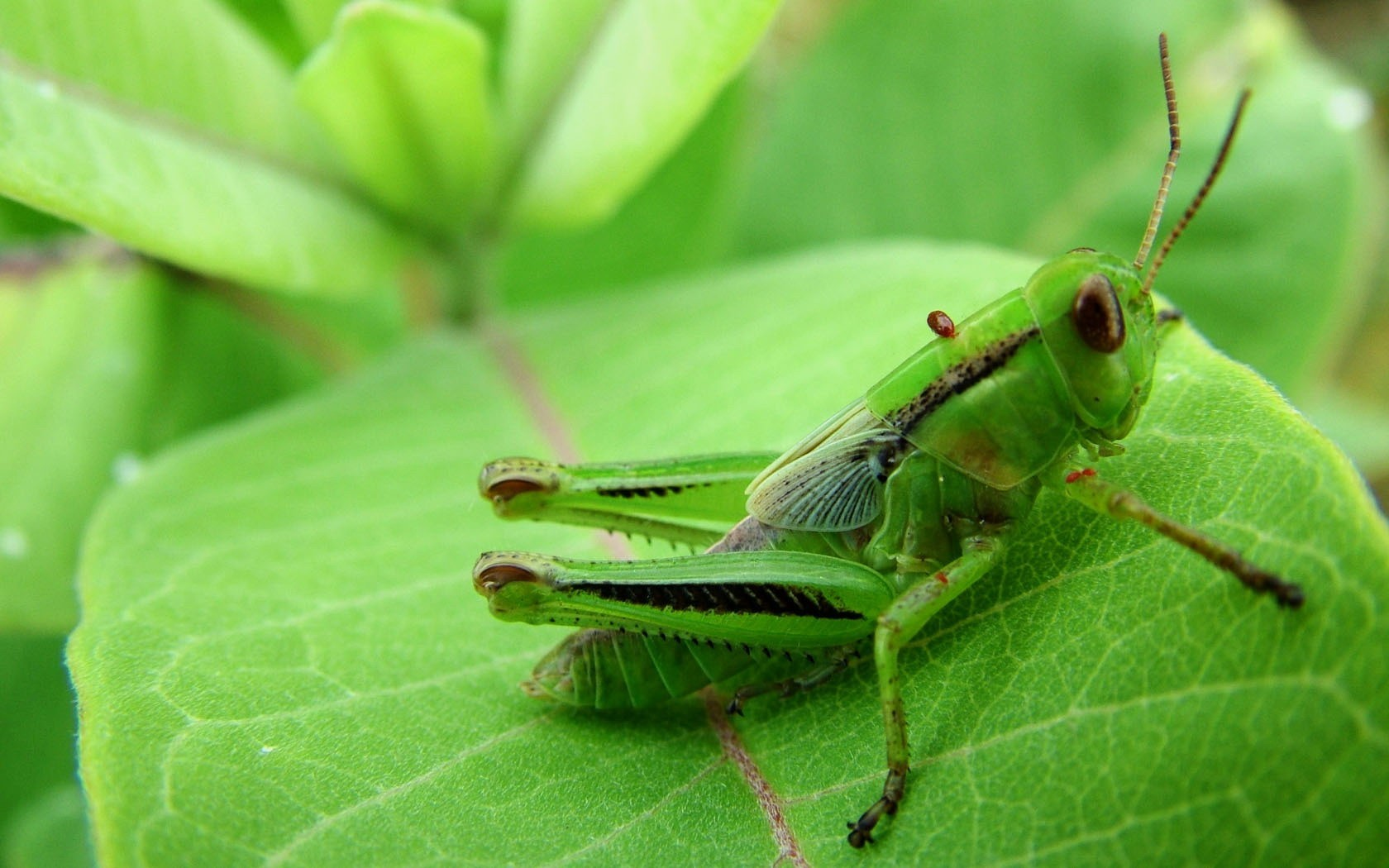 Green nature insects grasshopper HD Wallpaper