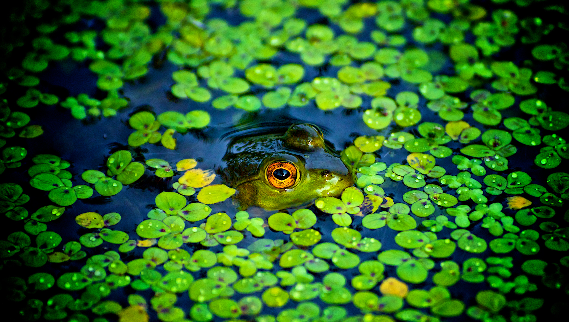 Green ponds Frogs camouflage HD Wallpaper