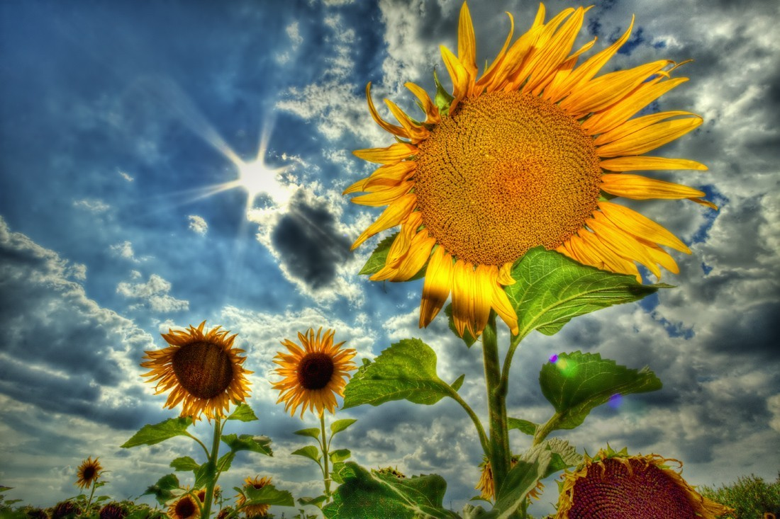 HDR Photography skyscapes Sunflowers HD Wallpaper
