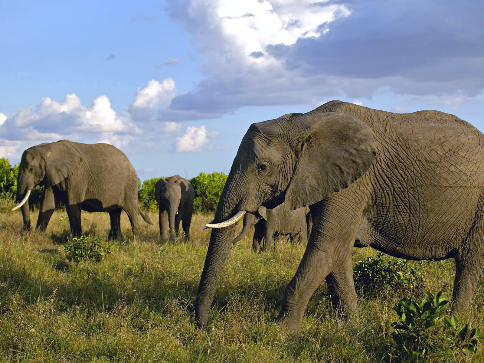 herd of african elephants HD Wallpaper